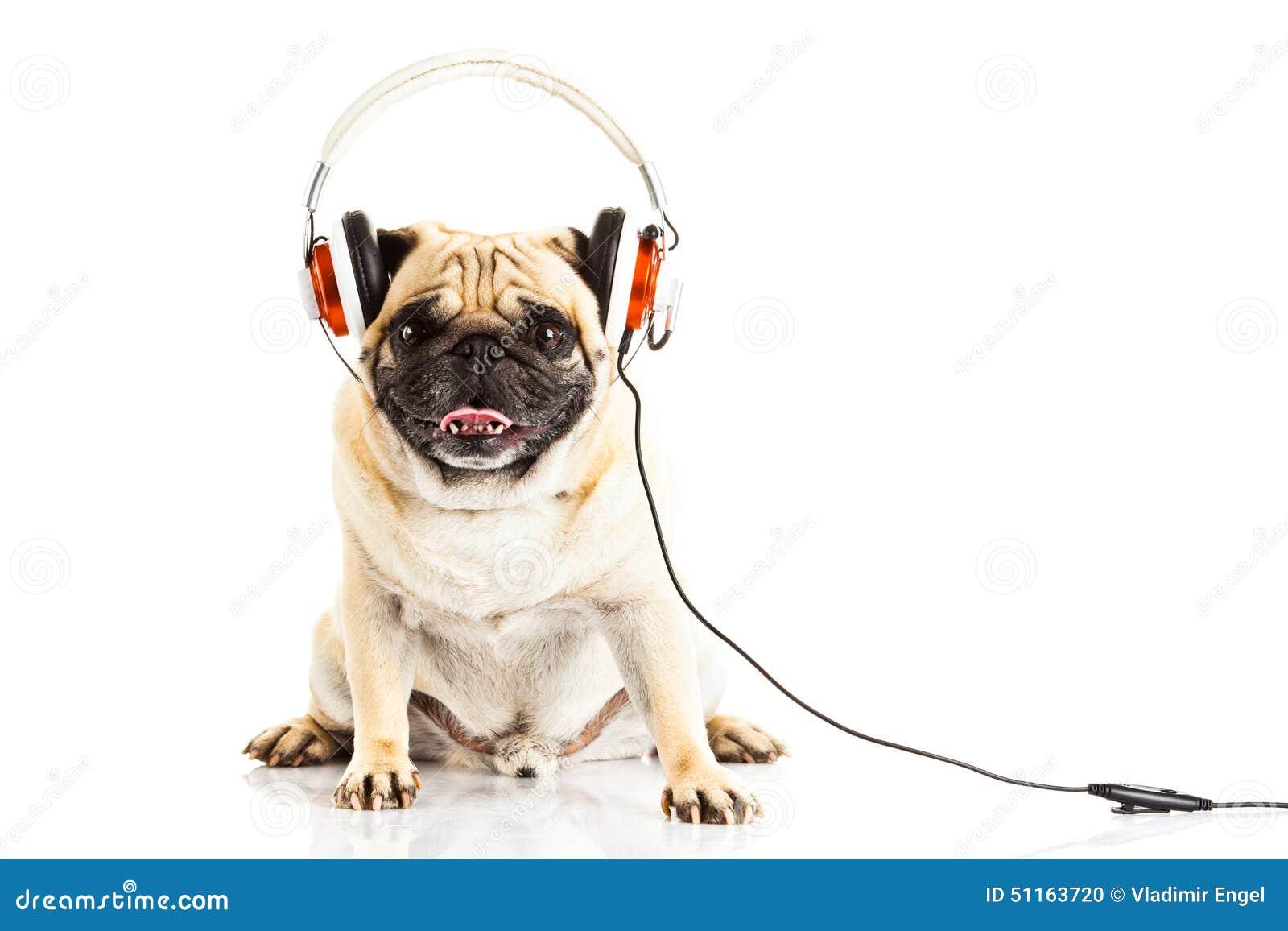 Chien De Roquet Avec L'écouteur D'isolement Sur Le Travail