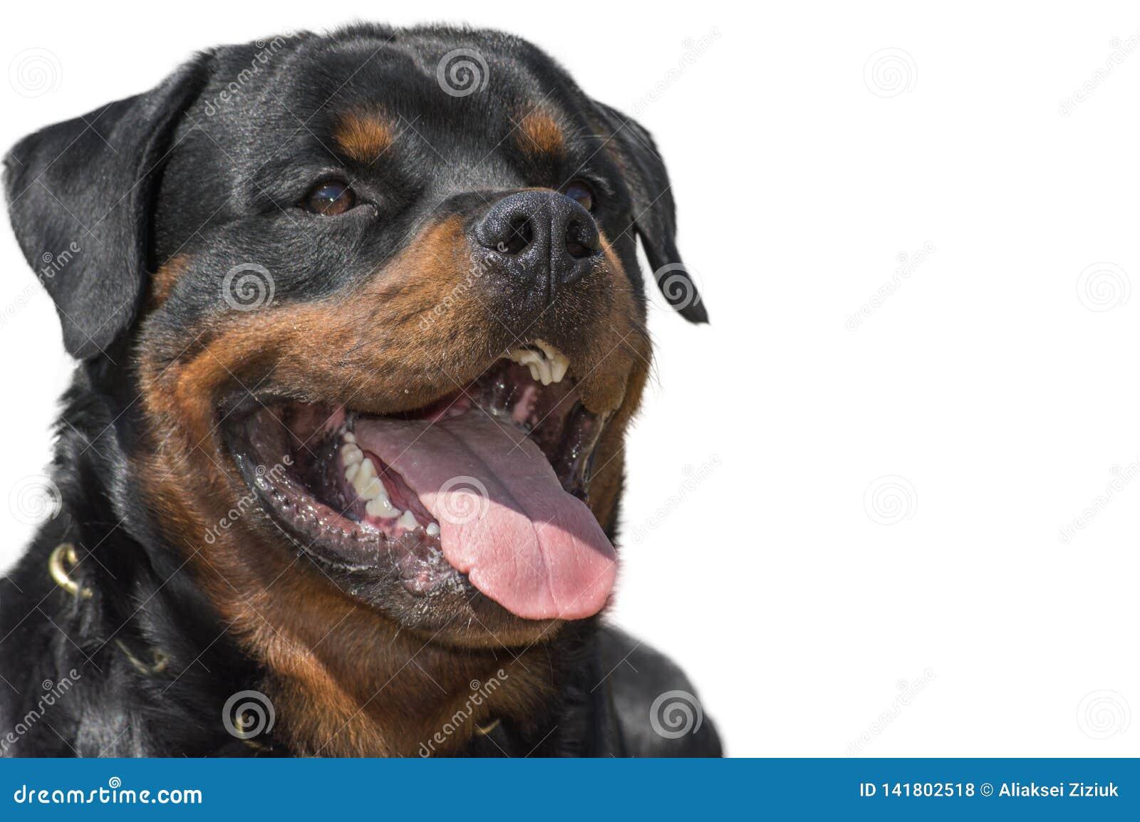 Chien de rottweiler, d isolement, plan rapproché de tête