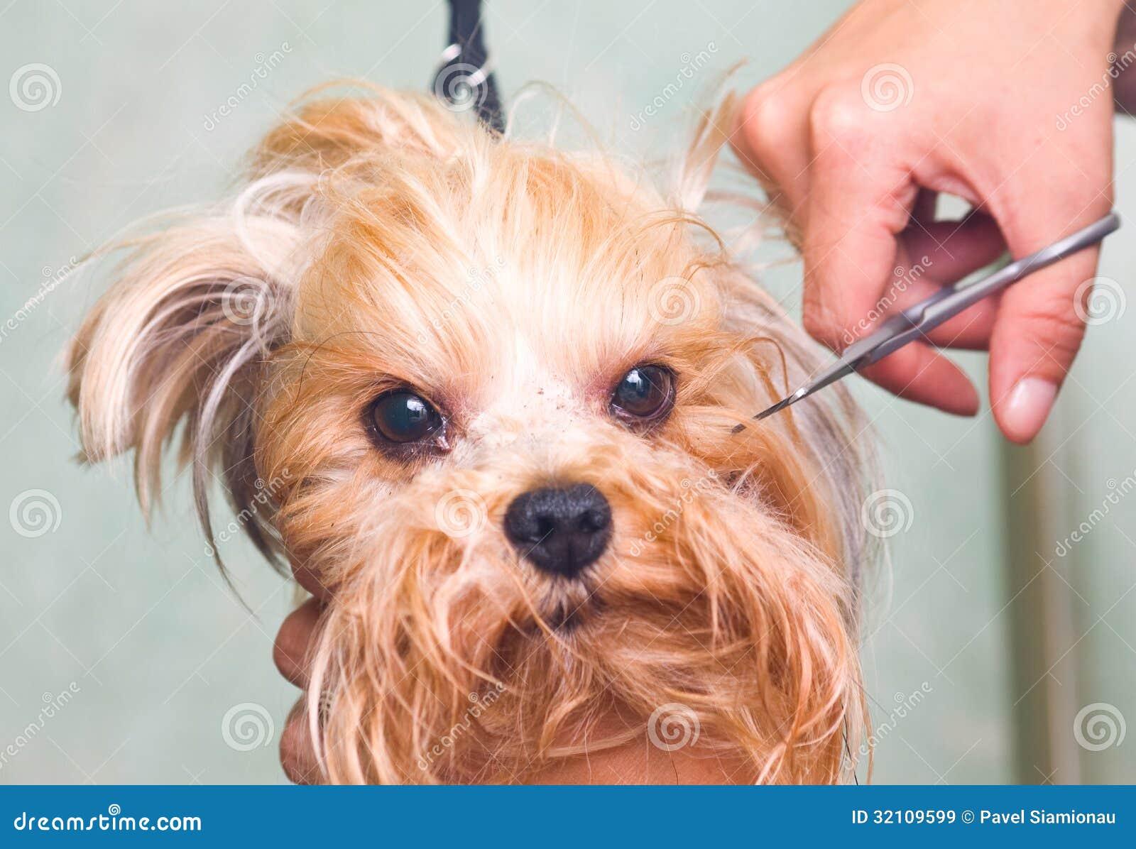 Chien de terrier de toilettage yorkshire image stock image du domestique beaut 32109599 - Coupe de poils pour yorkshire ...