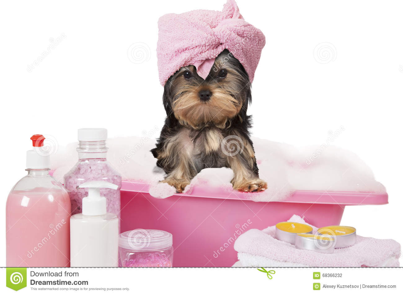 Chien de terrier de yorkshire prenant un bain photo stock image 68366232 for Photo dans un bain
