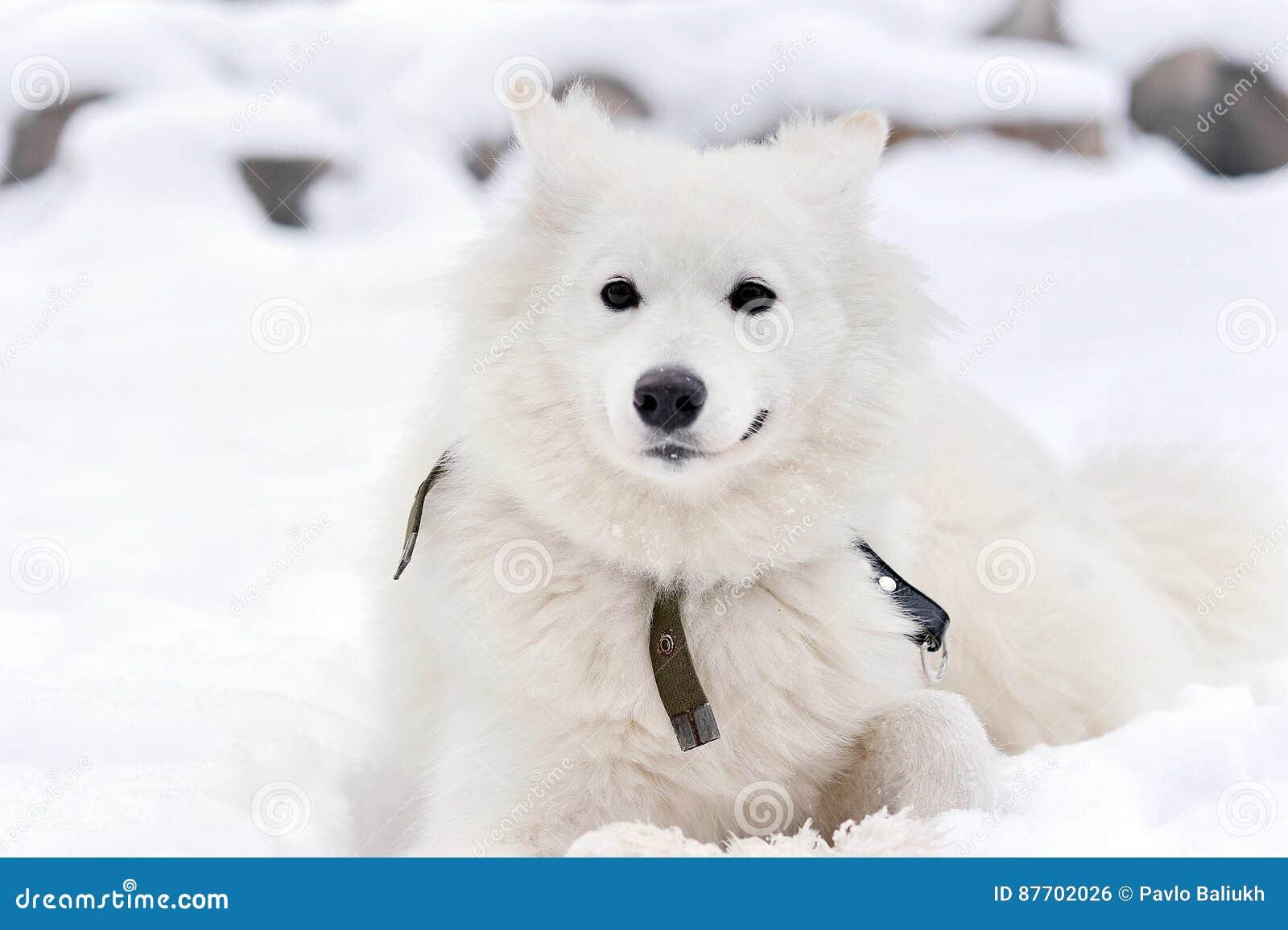 Chien de traîneau sibérien blanc se couchant sur la neige