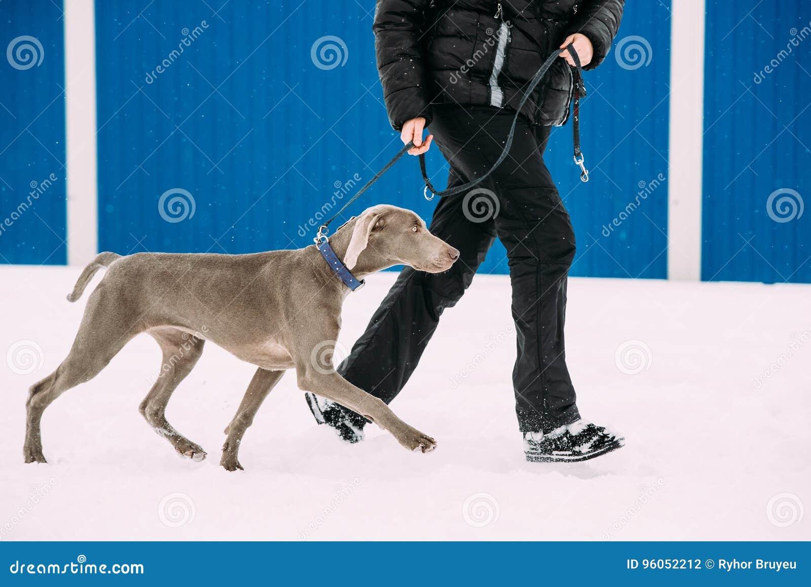 Chien de Weimaraner marchant près de l humain dans la neige au jour d hiver Grand chien Breds pour la chasse
