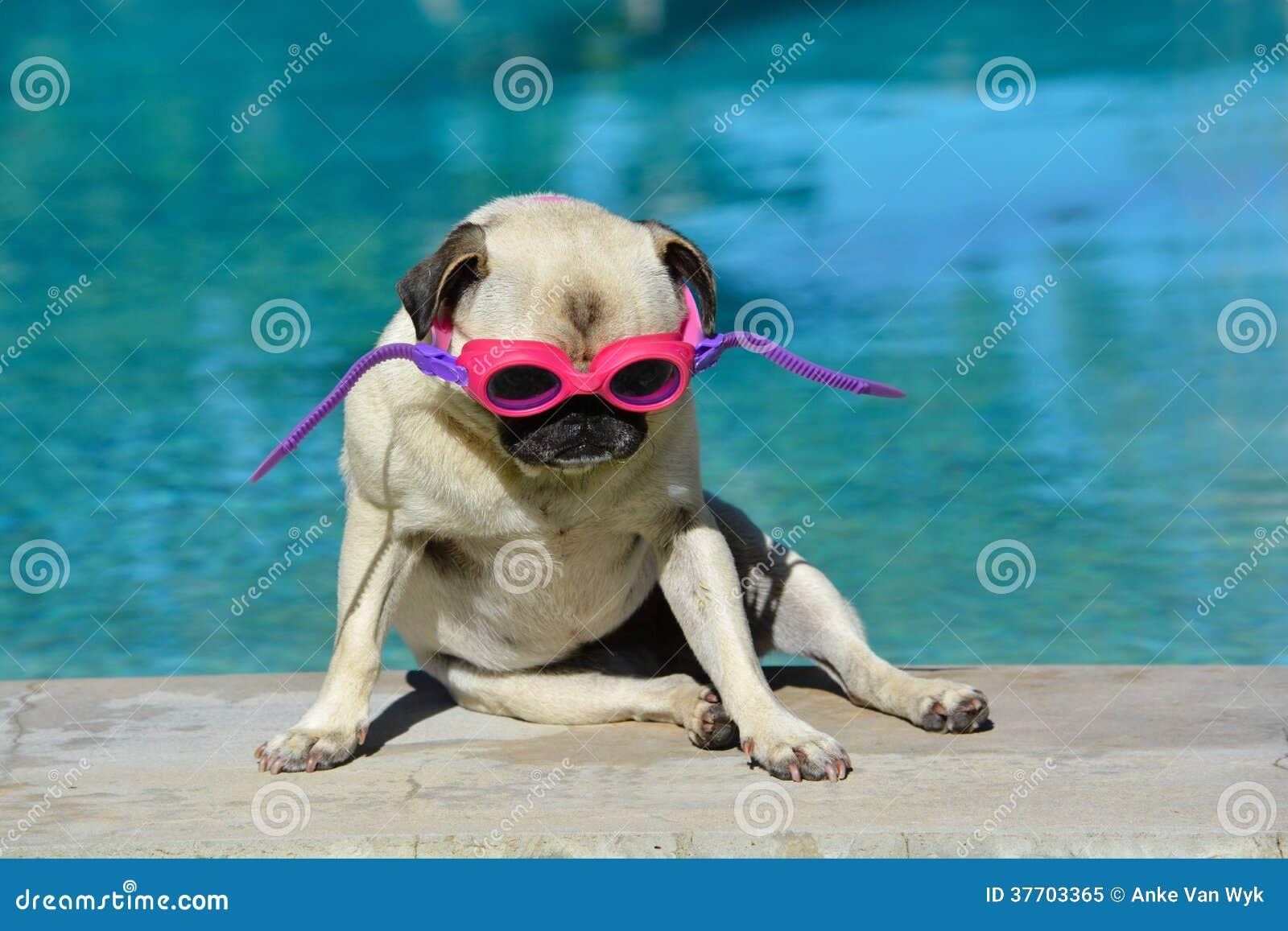 Chien dr le avec des lunettes image stock image du canin for Piscine pour chien