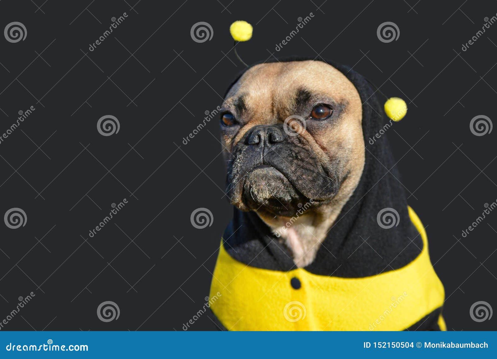 Chien femelle mignon de bouledogue français de faon habillé dans un costume noir et jaune drôle d abeille