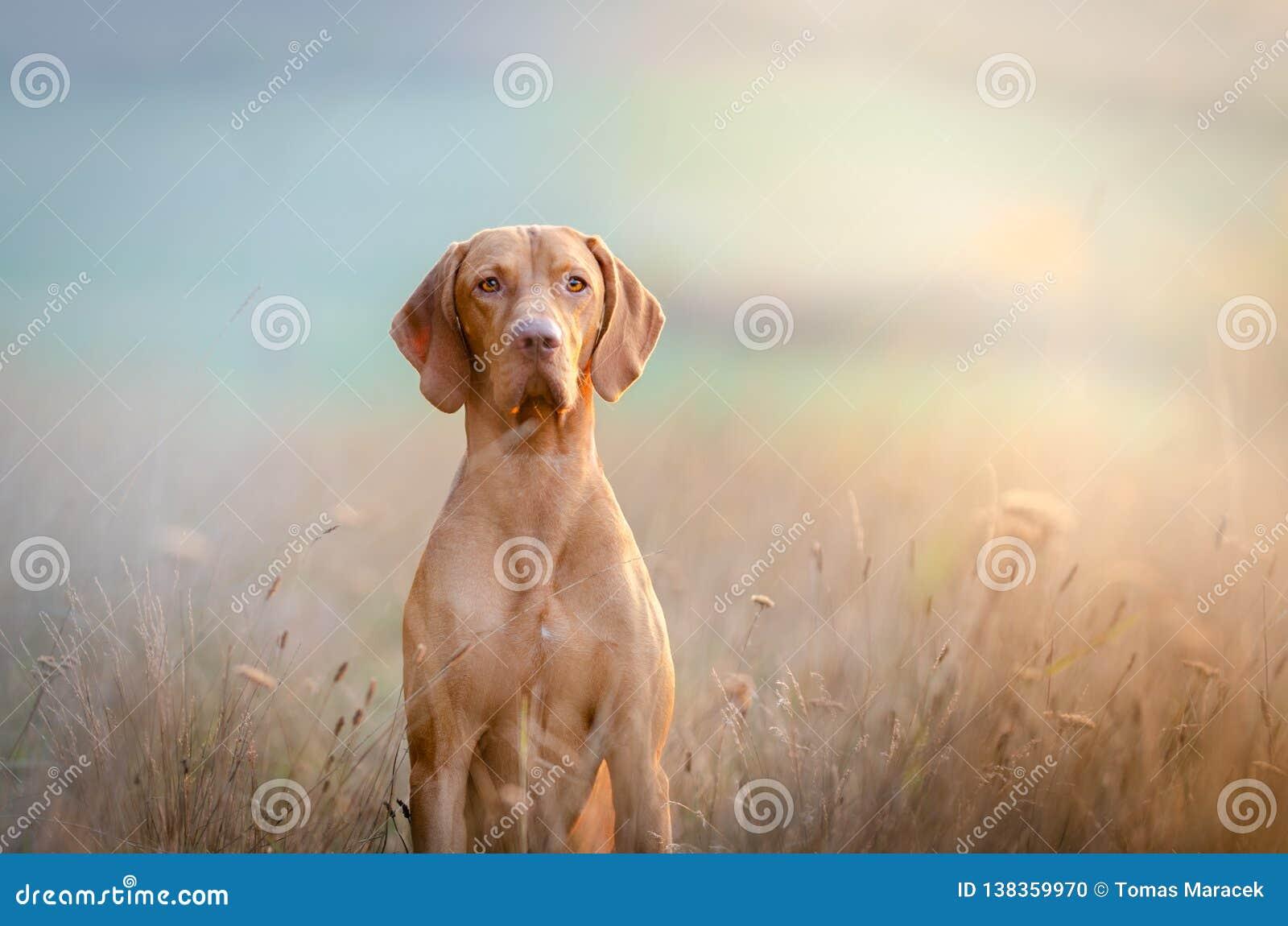 Chien hongrois de vizsla d indicateur de chien dans le temps d automne dans le domaine