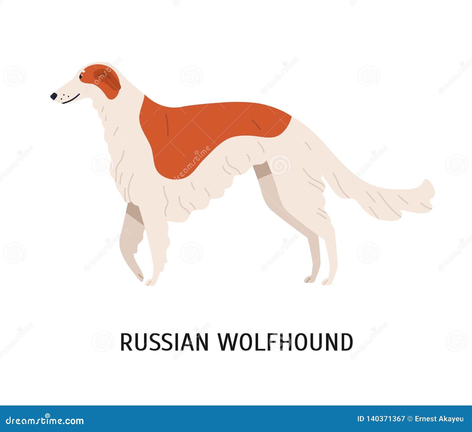 Chien-loup ou barzoï russe Beau chien ou sighthound mignon de stupéfaction d isolement sur le fond blanc Animal de race magnifiqu
