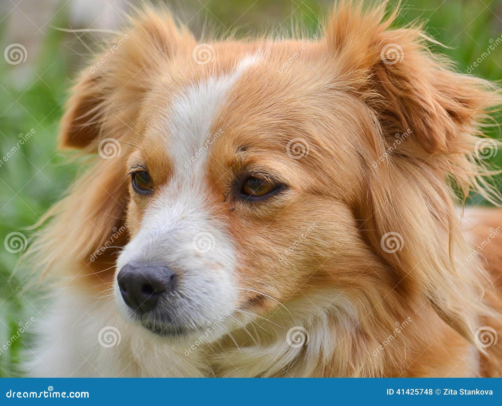 Chien mignon de croisement photo stock image 41425748 - Croisement chien insolite ...
