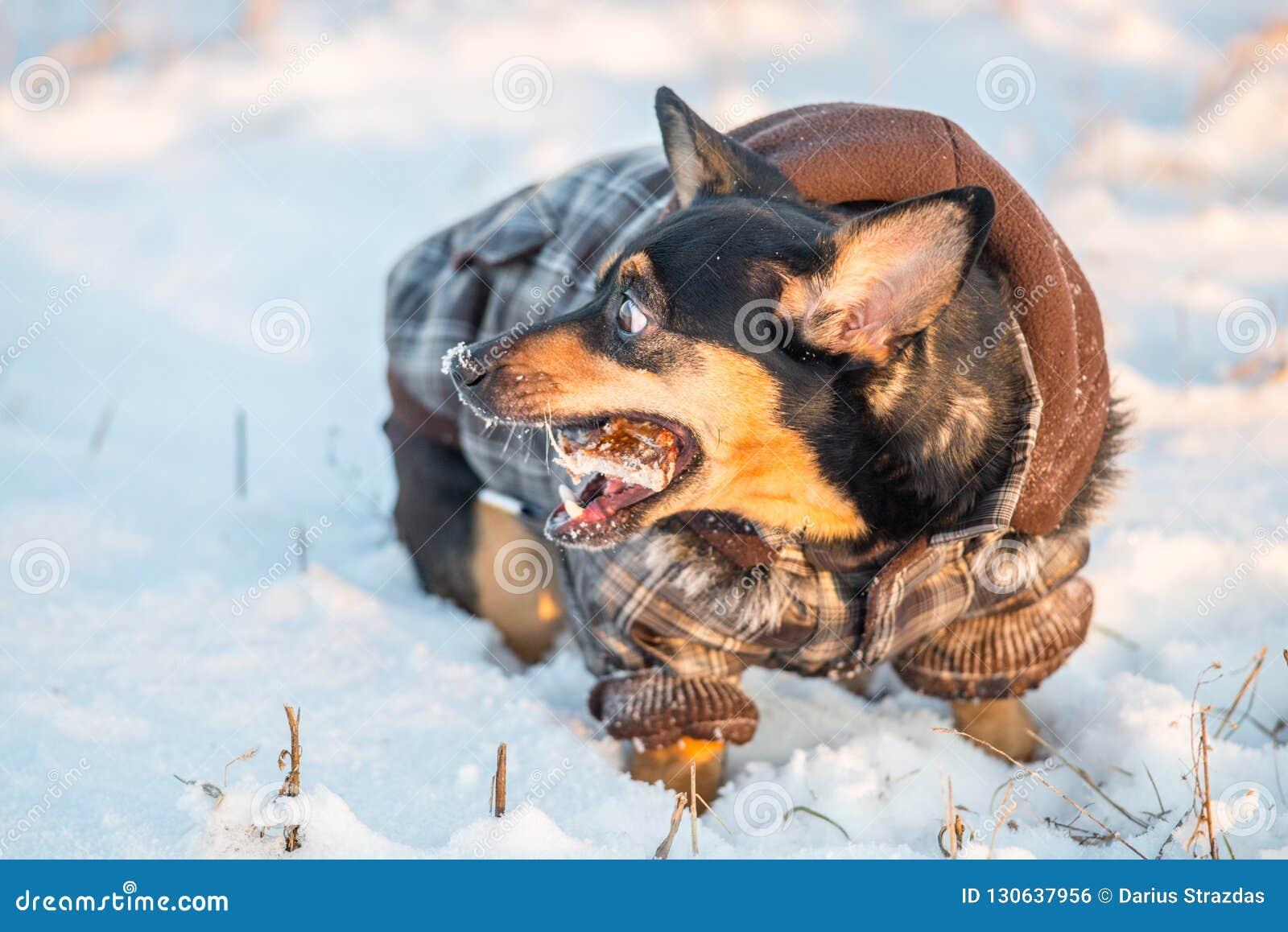 Chien mignon en hiver avec des vêtements mangeant un os