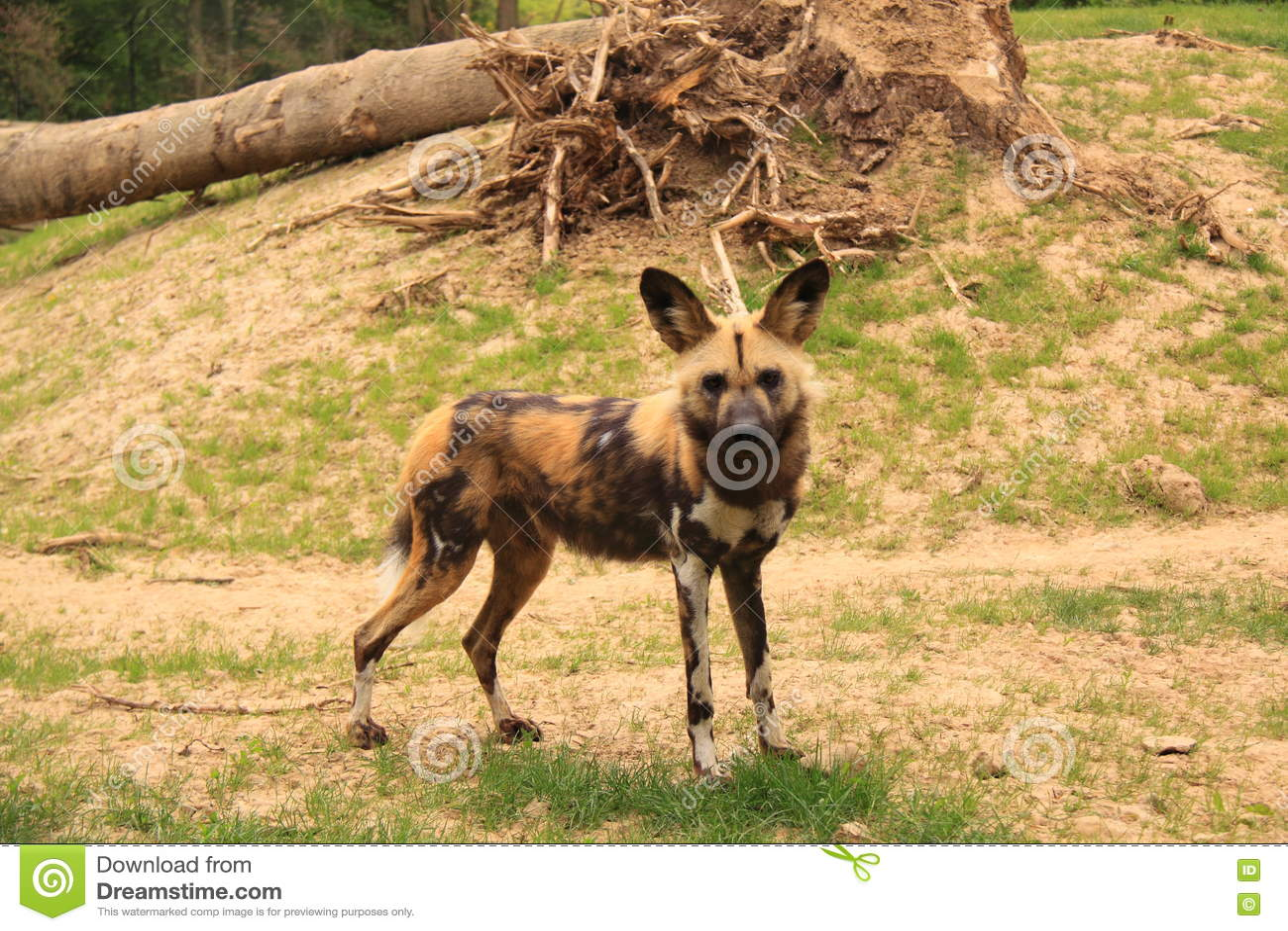 Chien Peint chien peint par africain image stock. image du nature - 72133591