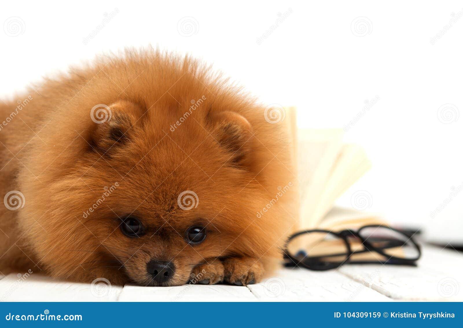 Chien Pomeranian Intelligent Avec Un Livre Un Chien Abrite Dans Une Couverture Avec Un Livre Chien Serieux Avec Des Verres Chien Image Stock Image Du Serieux Chien 104309159