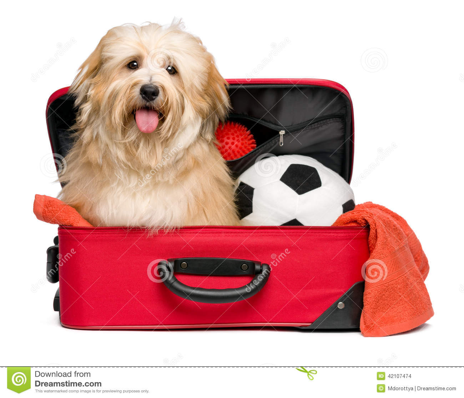Chien rougeâtre heureux de Bichon Havanese dans une valise de déplacement rouge