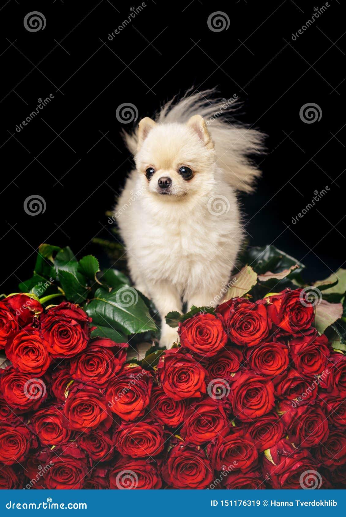 Chien sur des fleurs Chiot romantique avec des roses
