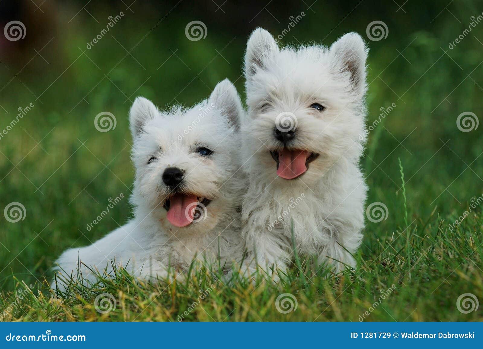 Chien terrier blanc de montagne occidentale