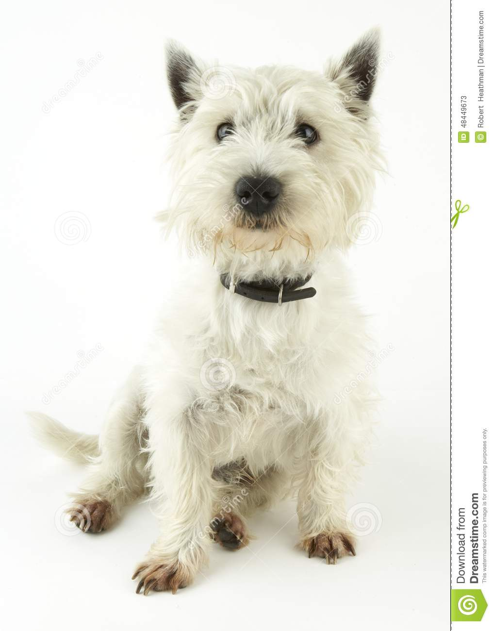 Chien terrier blanc de montagne occidentale