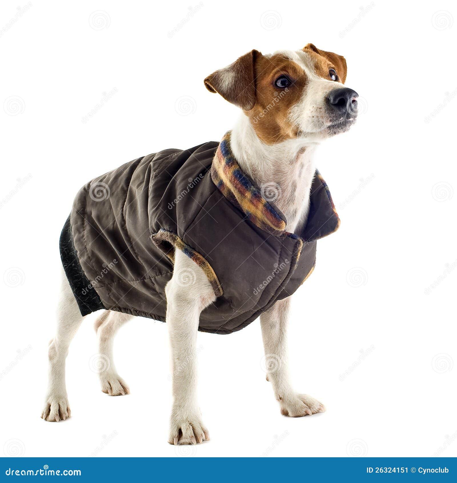 Taille manteau jack russel