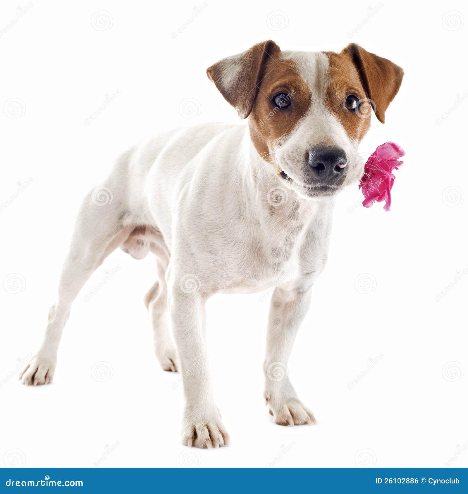 Chien Terrier De Jack Russel Avec La Fleur Image libre de