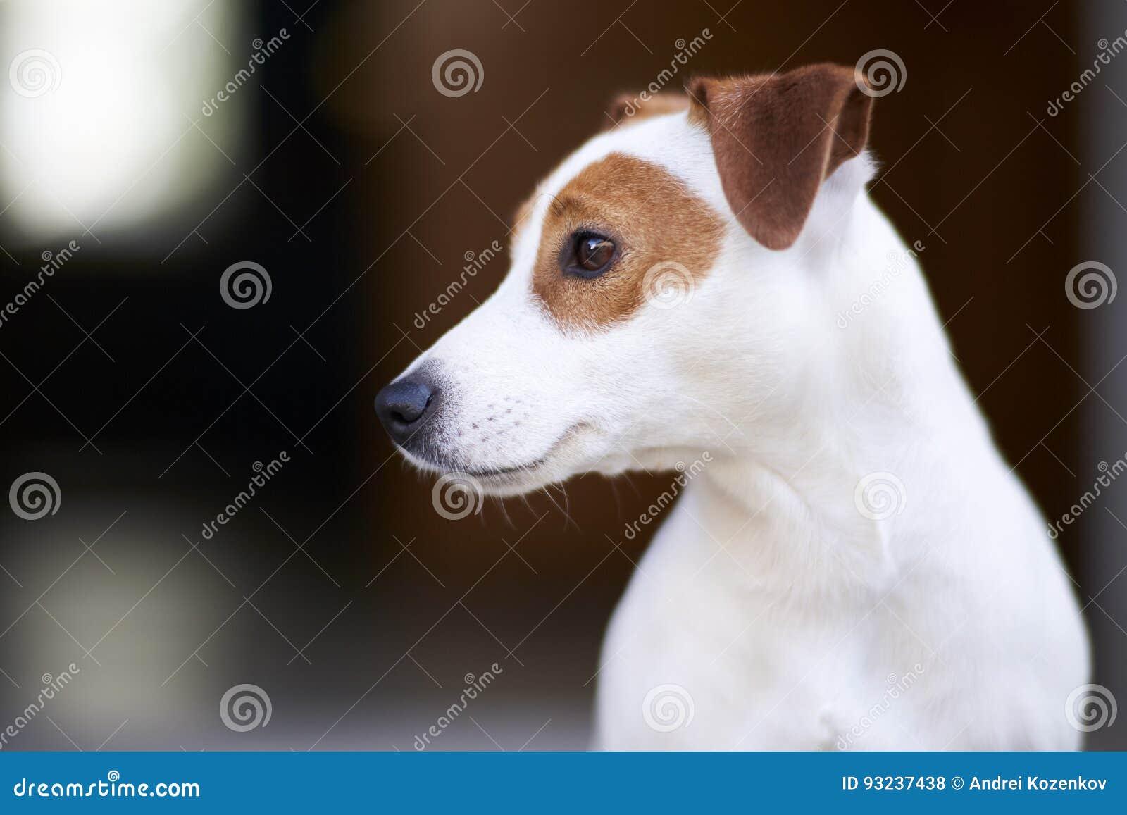 Chien terrier de Jack Russell