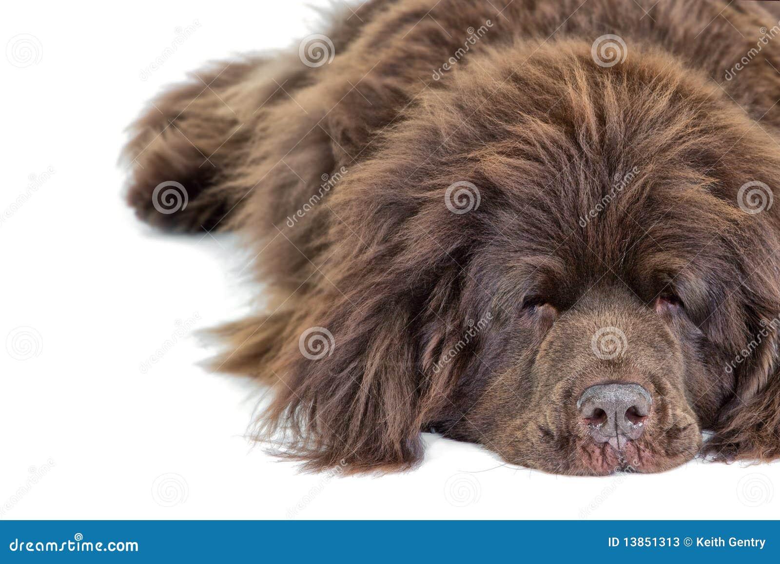 Chien Terrier De Sommeil De Terre-Neuve Image stock