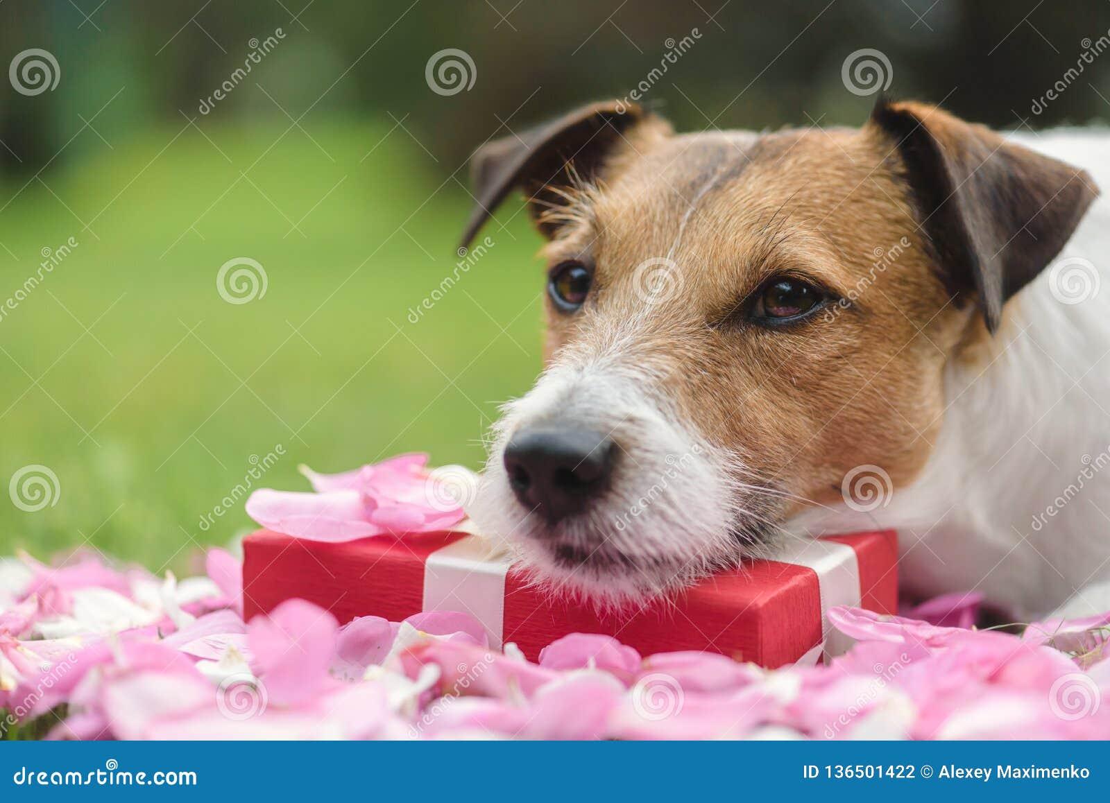 Chien triste et franc romantique s étendant sur la boîte actuelle de Saint-Valentin