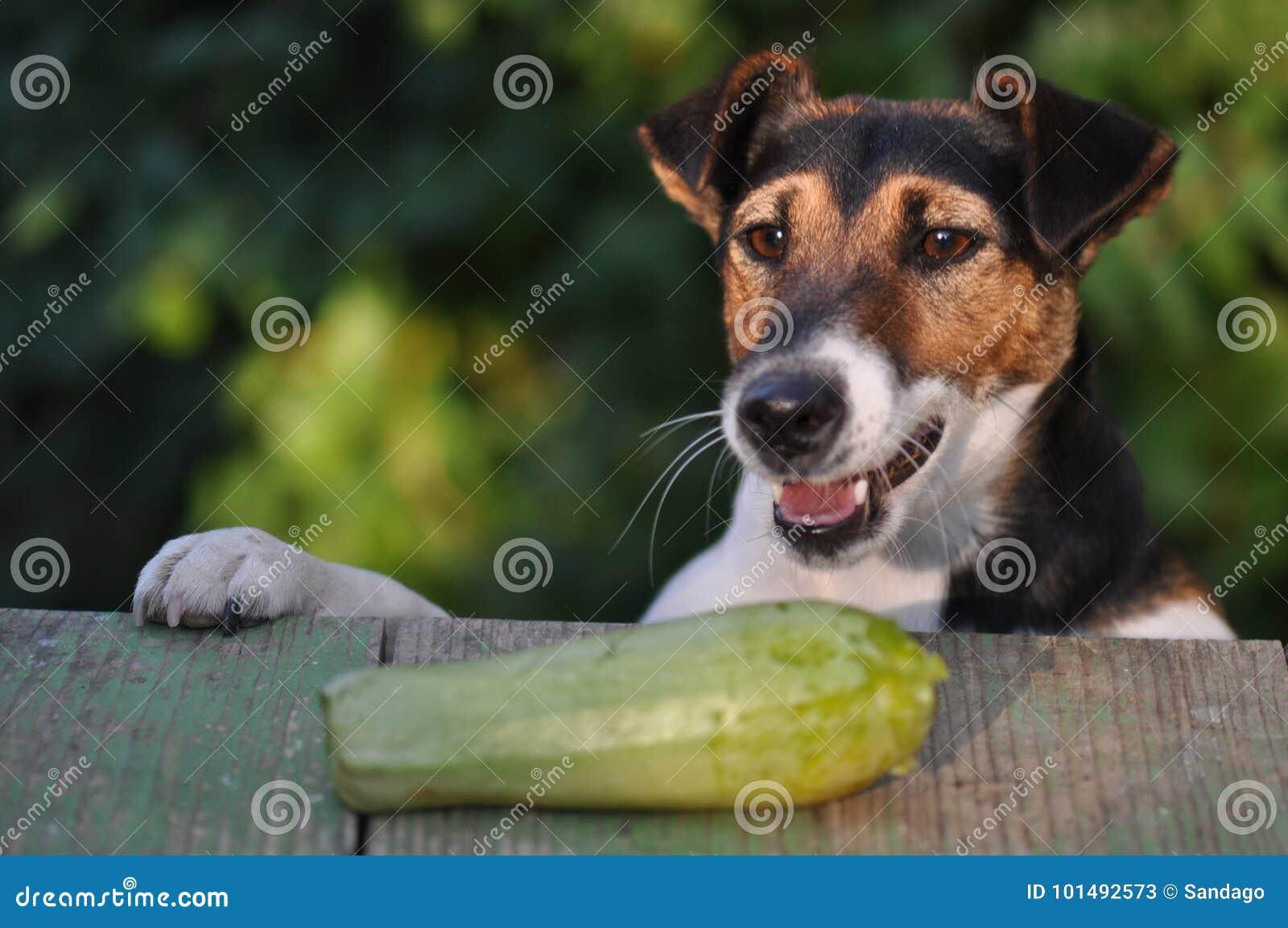 Chien Volant chien volant la nourriture image stock. image du closeup - 101492573