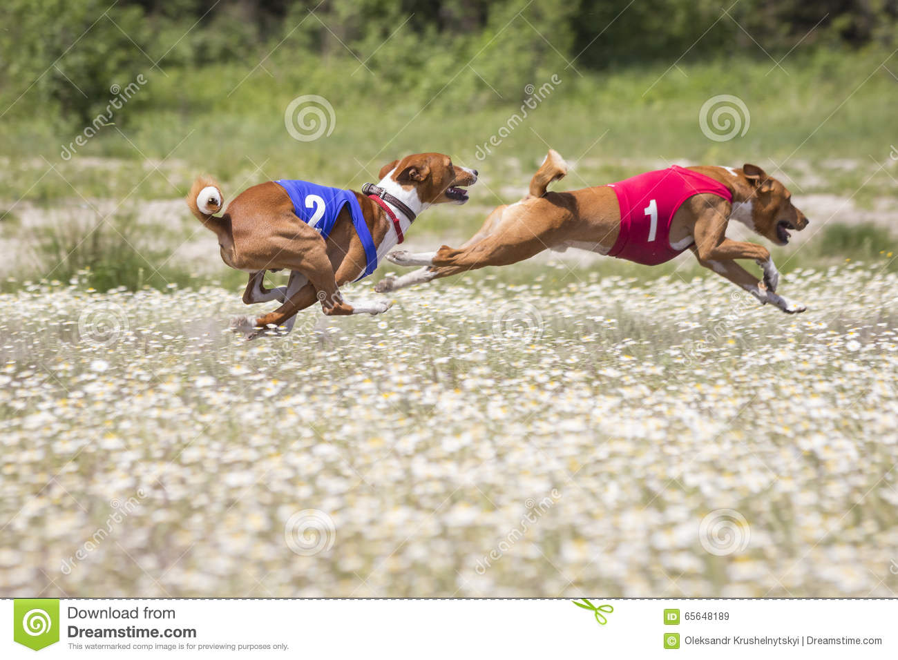 Chiens de concurrence Chasser Basenji