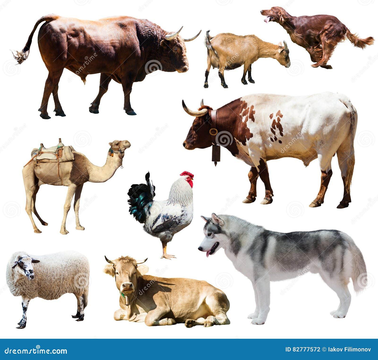 Chiens et d autres animaux de ferme D isolement au-dessus du blanc