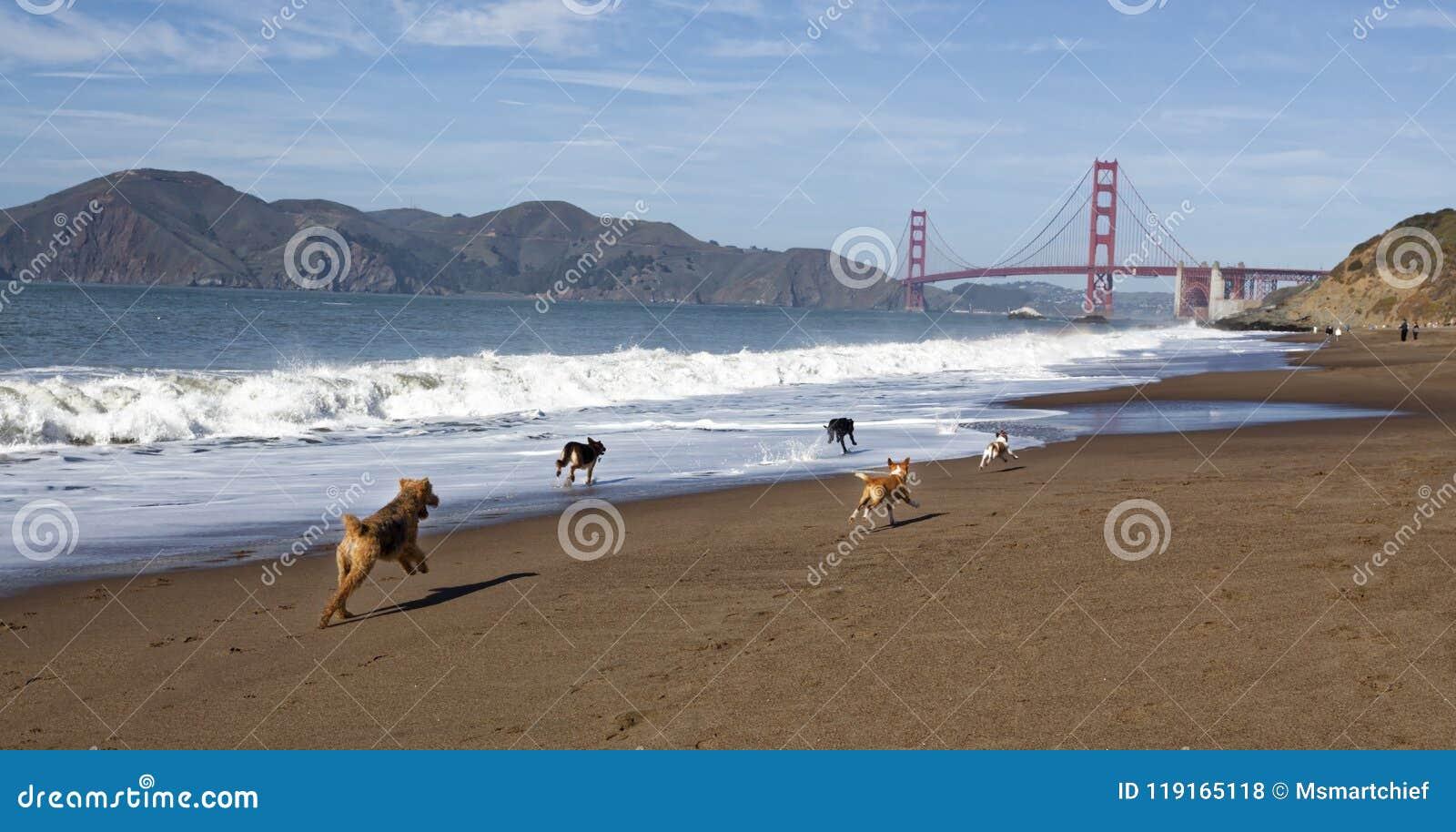 Chiens fonctionnant sur Baker Beach du ` s de San Francisco