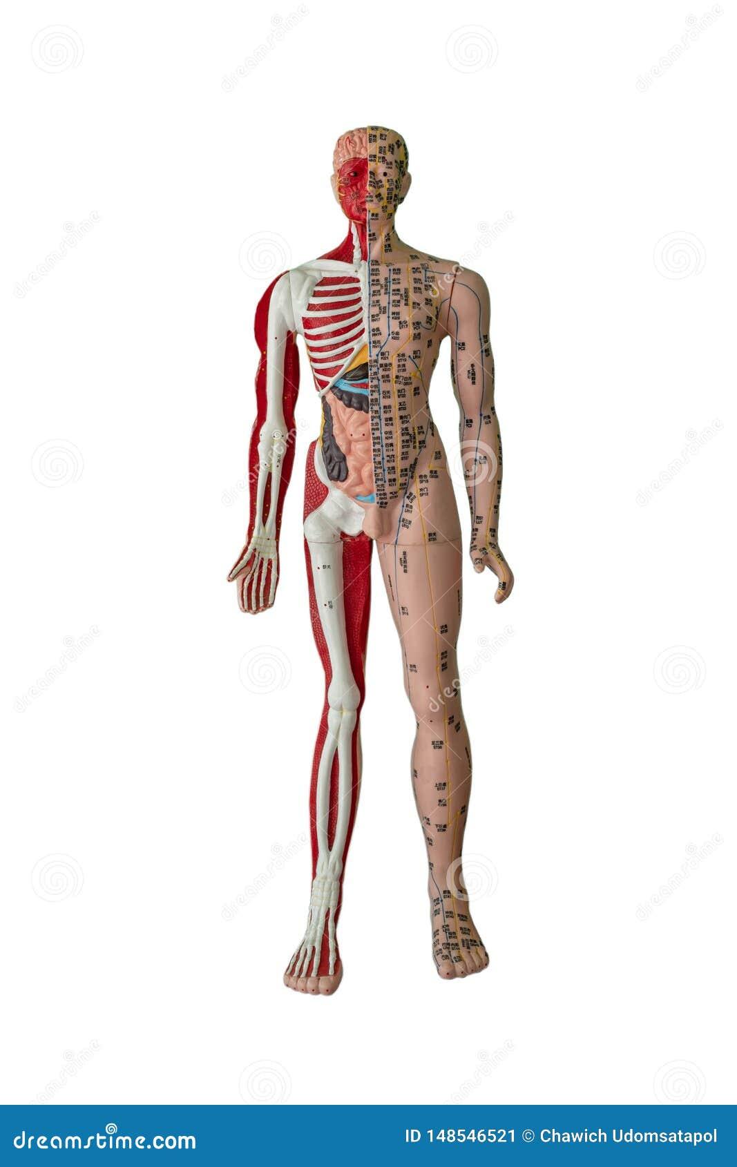 Chiffre de points, d os, de muscle et d organe interne d acuponcture