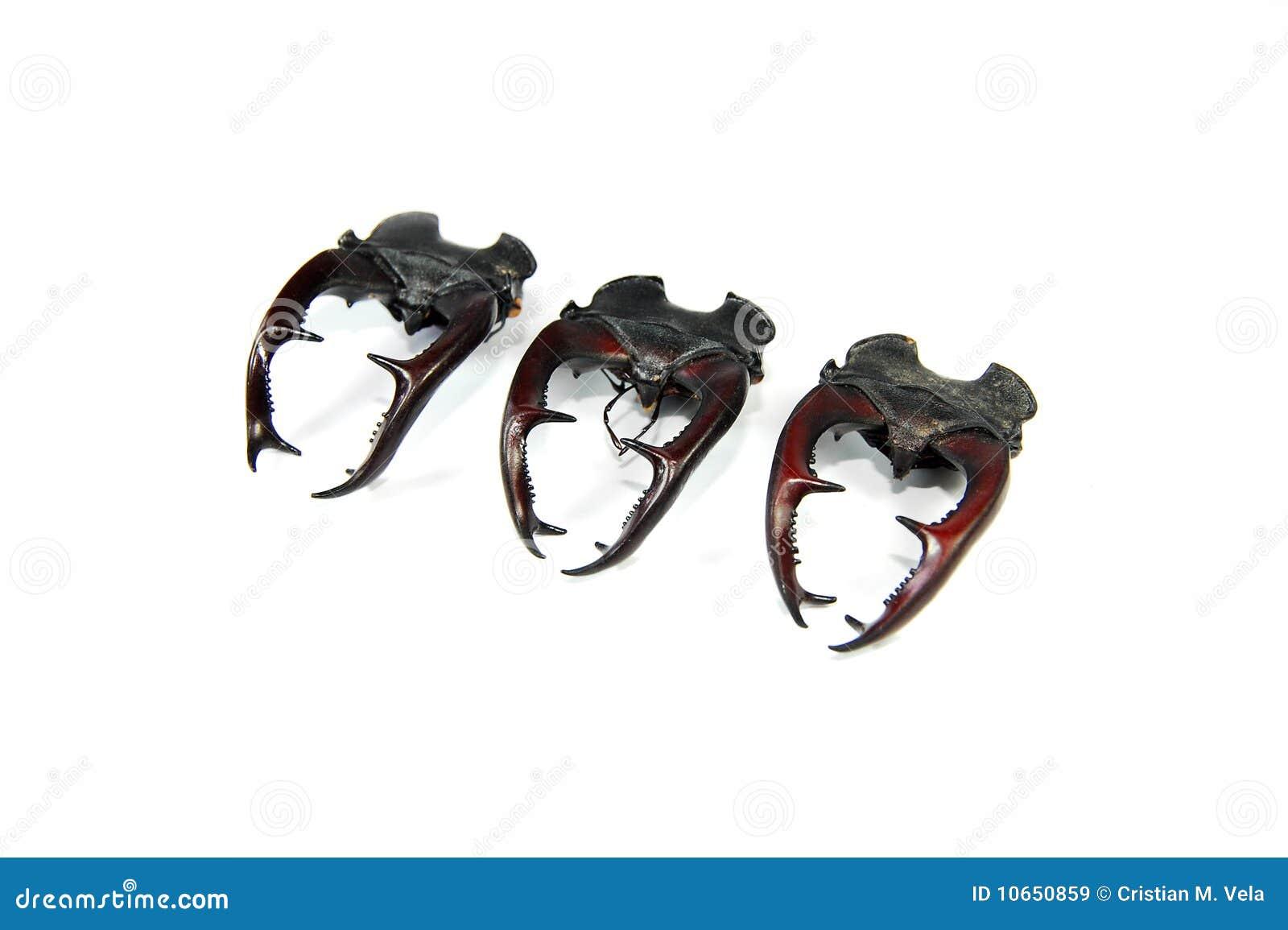 Chifres dos besouros de veado