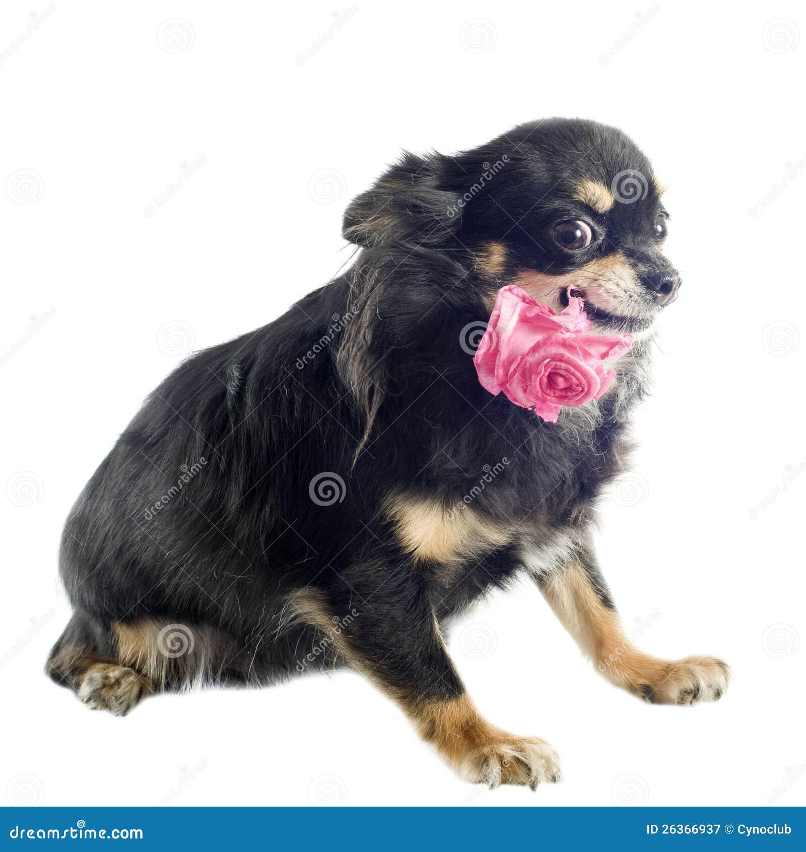 Chihuahua και λουλούδι