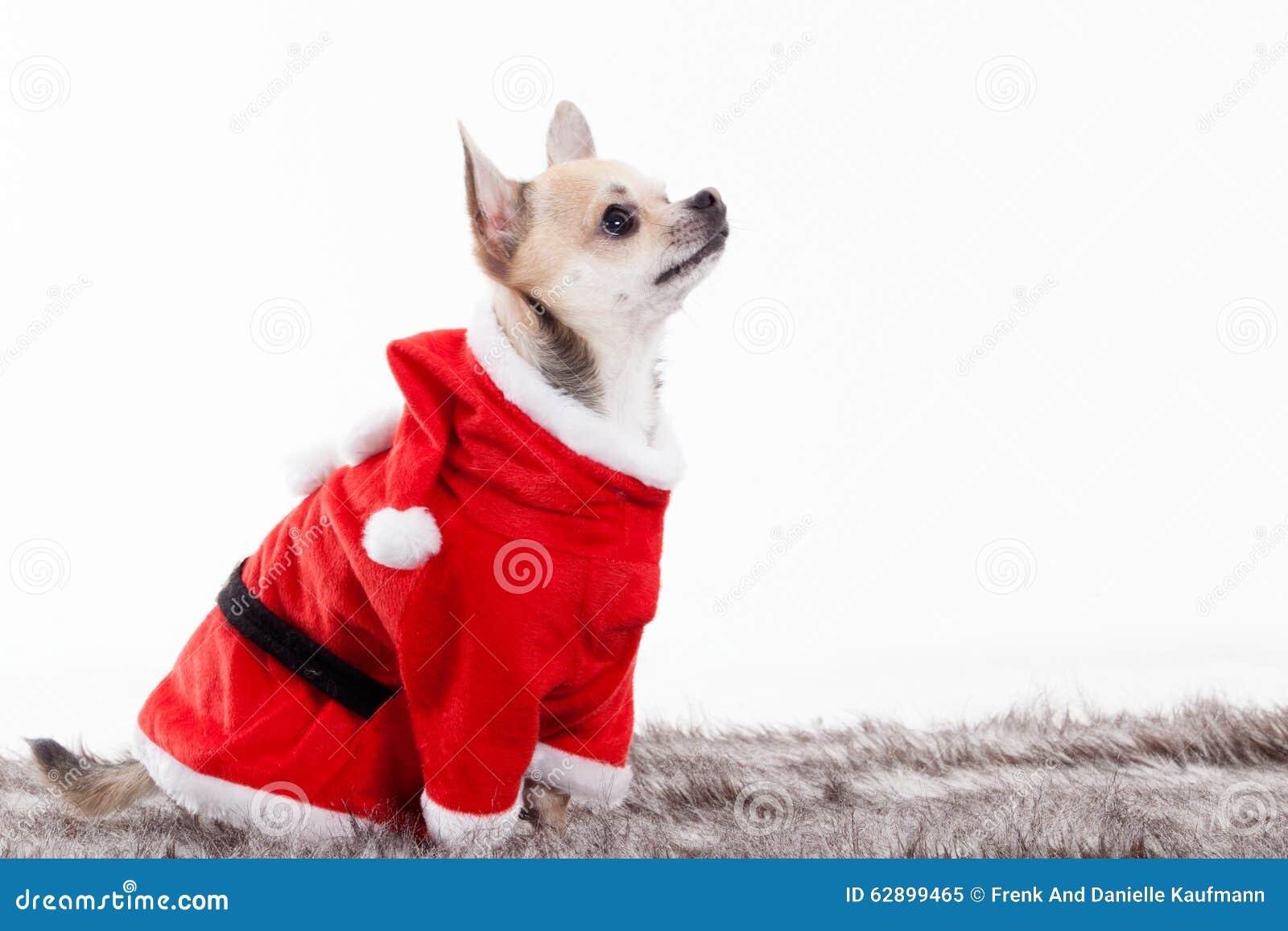 Chihuahua στην εξάρτηση Χριστουγέννων