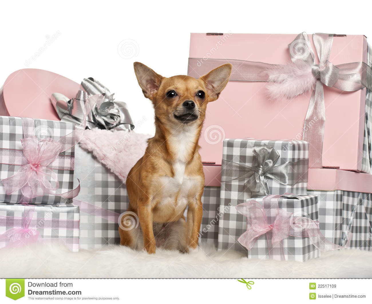 chihuahua 10 months old sitting with christmas