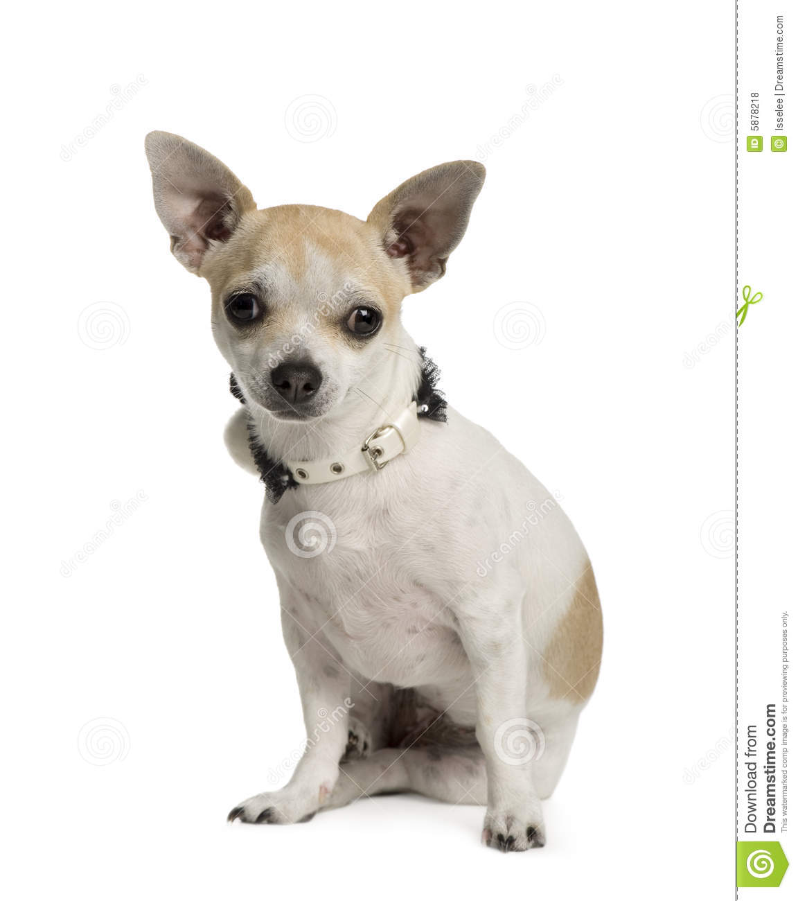 Chihuahua (6 months) in front of a white background.