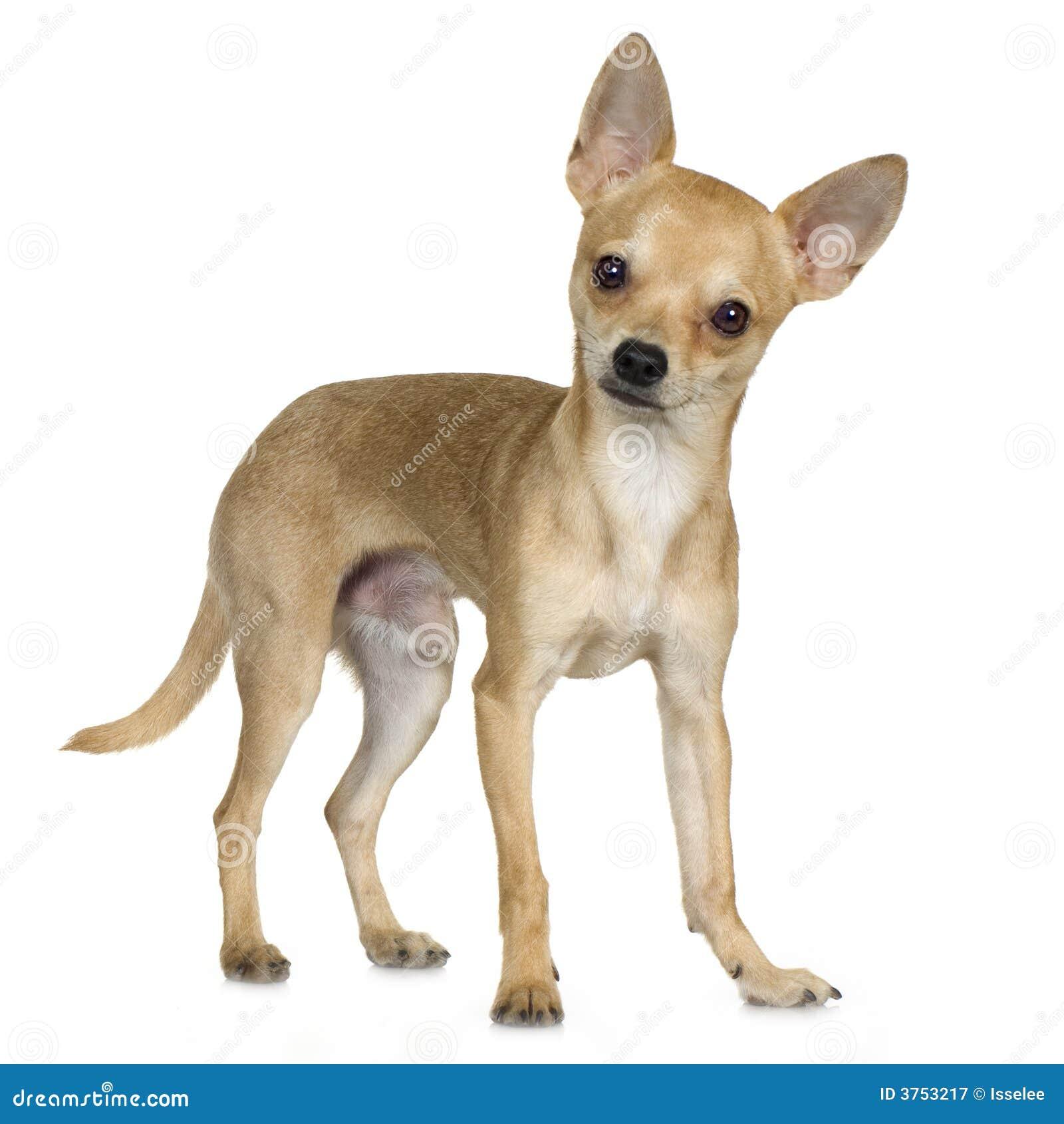 Chihuahua 9 Months Chihuahua (9 Months) R...