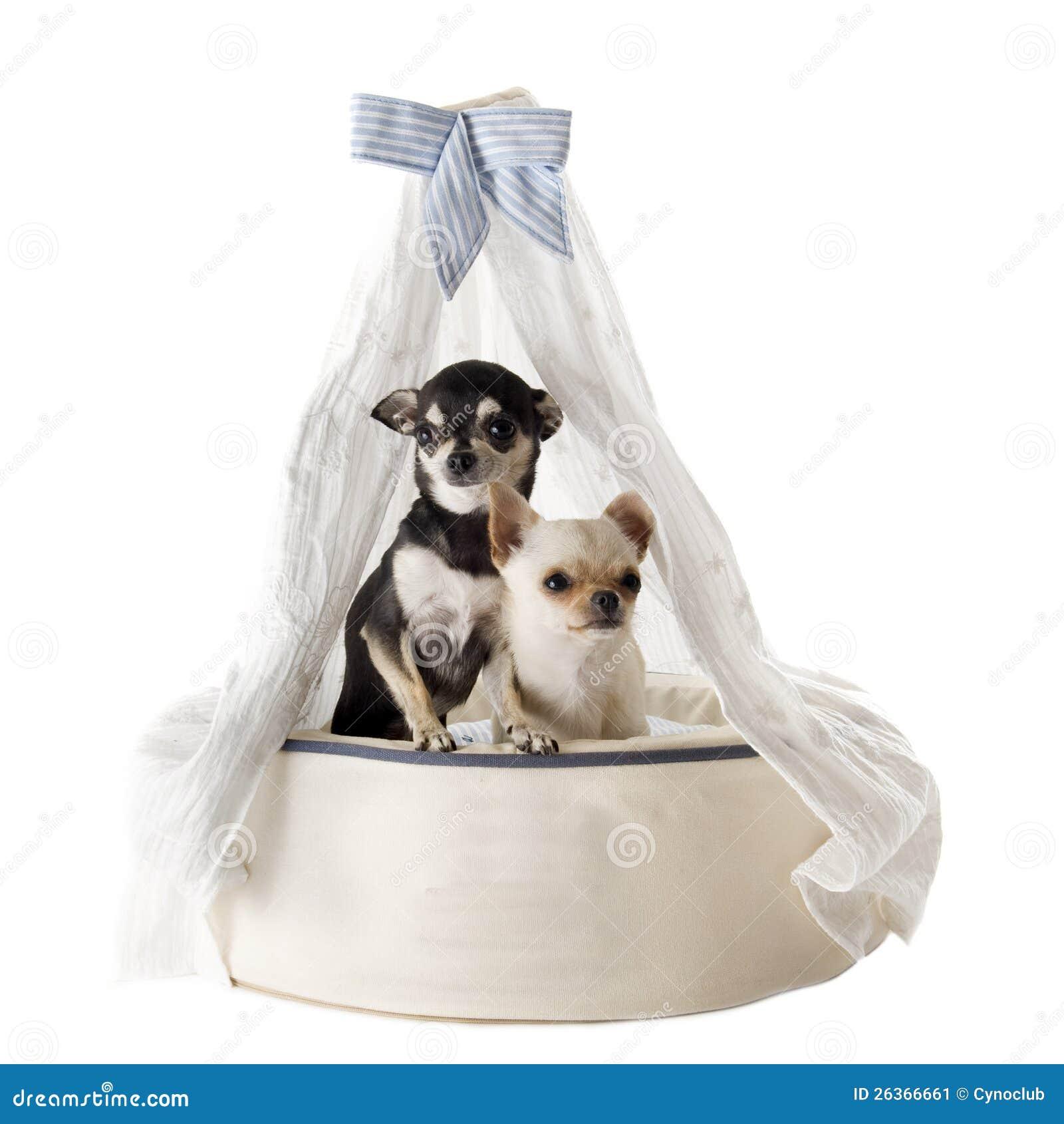 Chihuahua auf Betthund