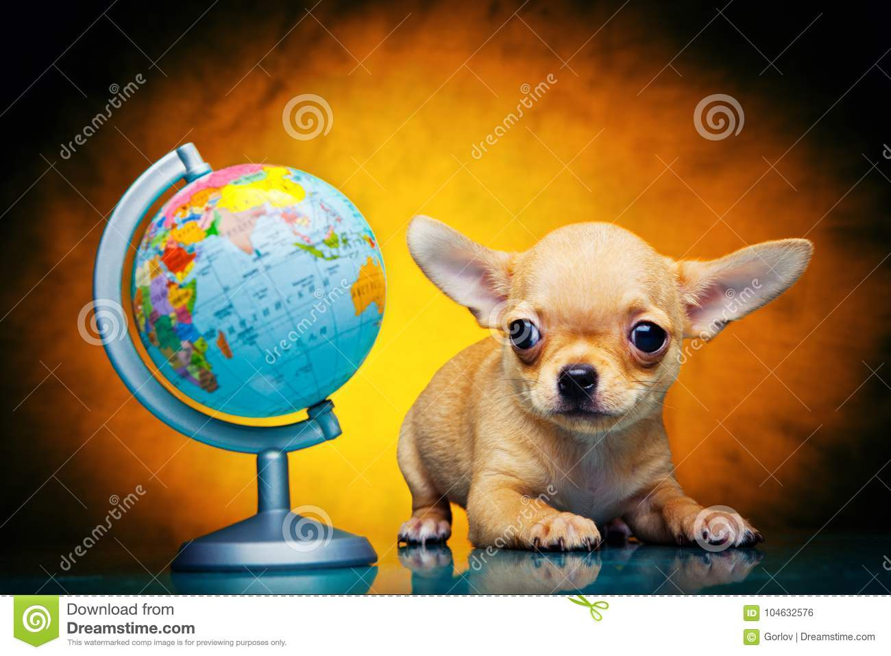 Chihuahua baby puppy dog in studio quality