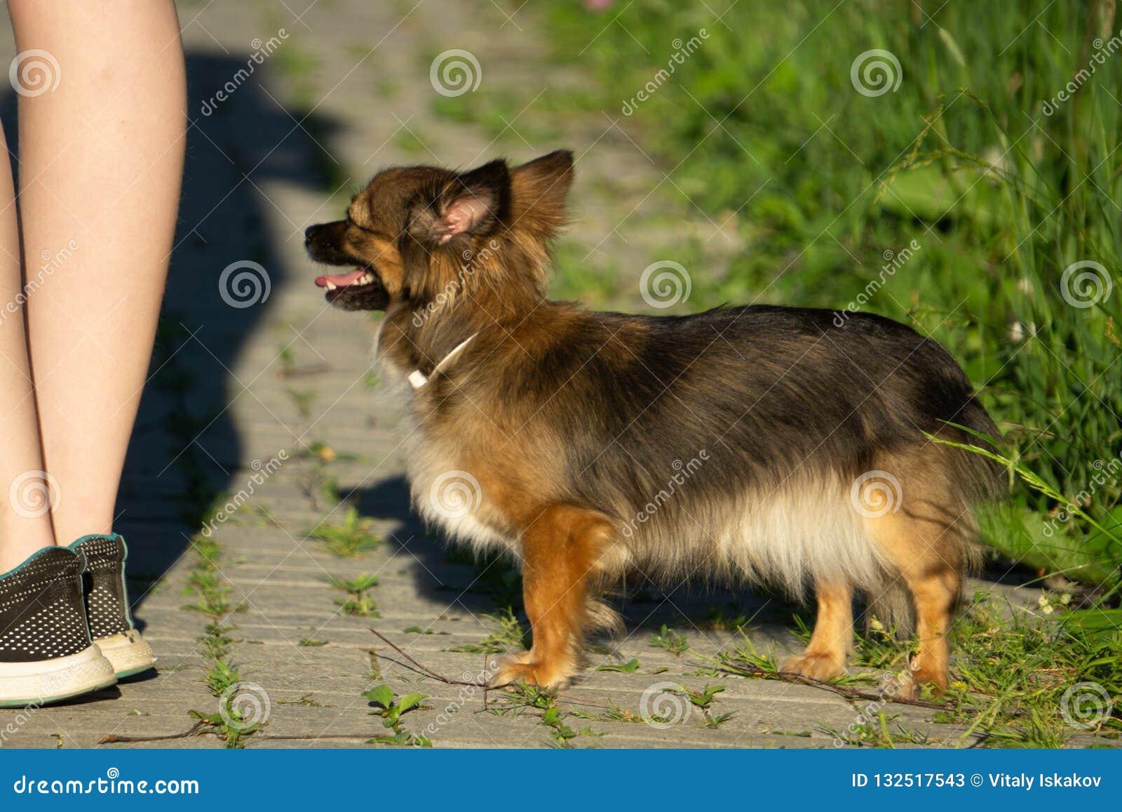 Chihuahua bawić się w traw potomstw krajobrazie