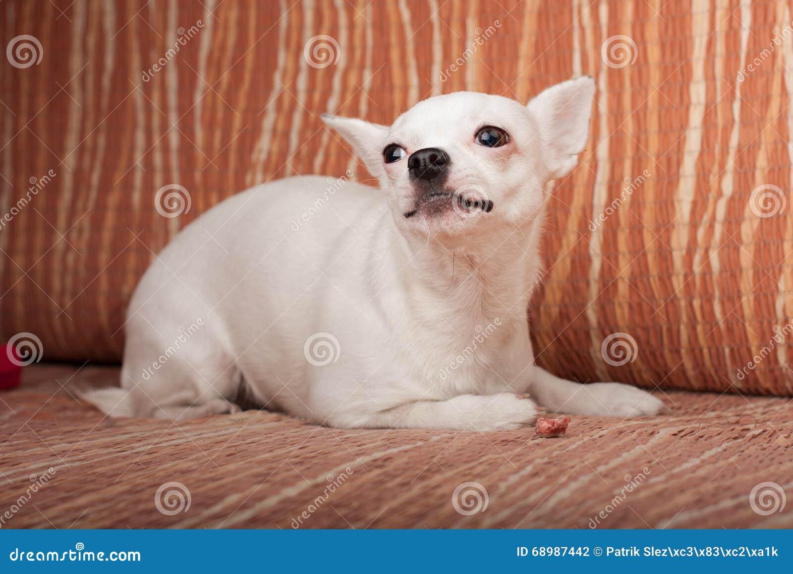 Chihuahua blanca que miente en el sofá, 3 años femeninos