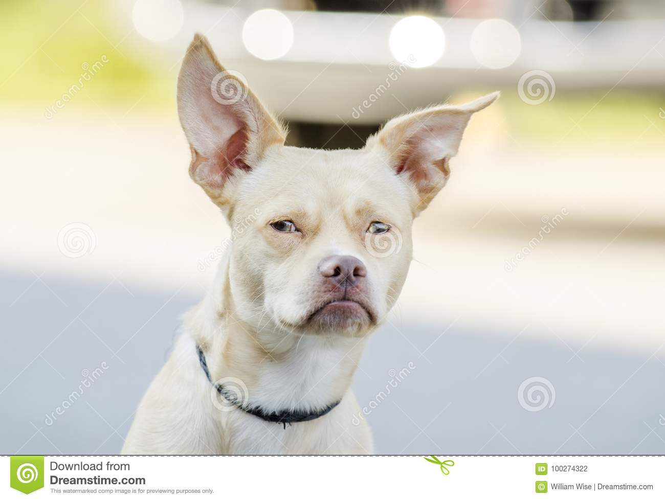 Chihuahua Boston Terrier Mixed Breed Dog Stock Photo Image Of