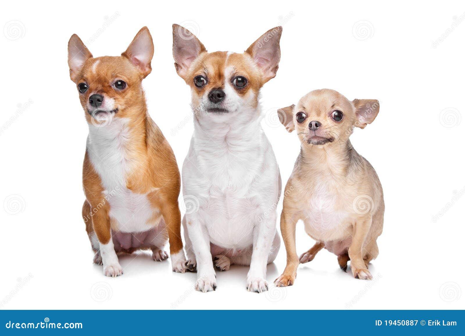 Chihuahua być prześladowanym trzy