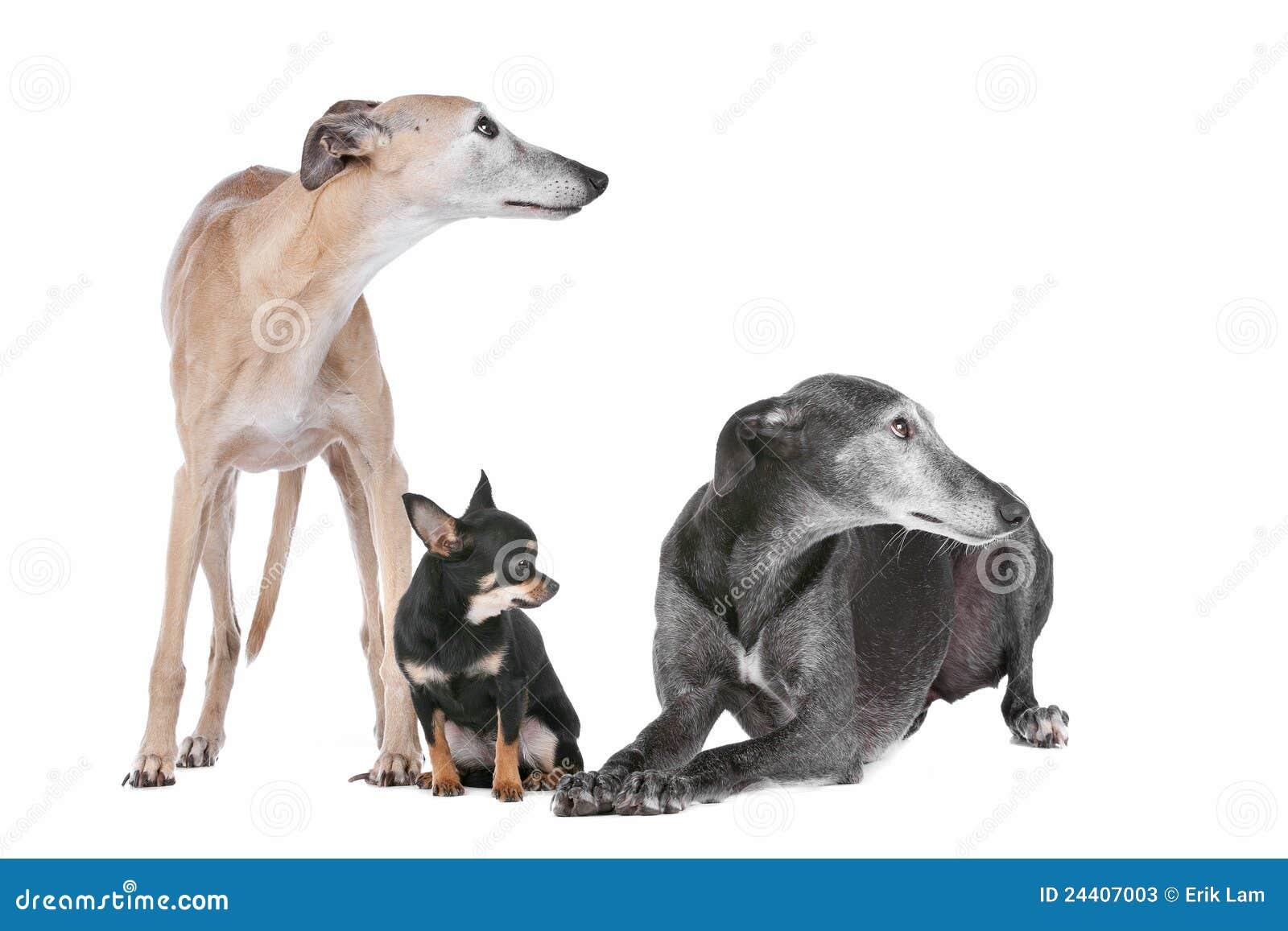 Chihuahua charcicy dwa