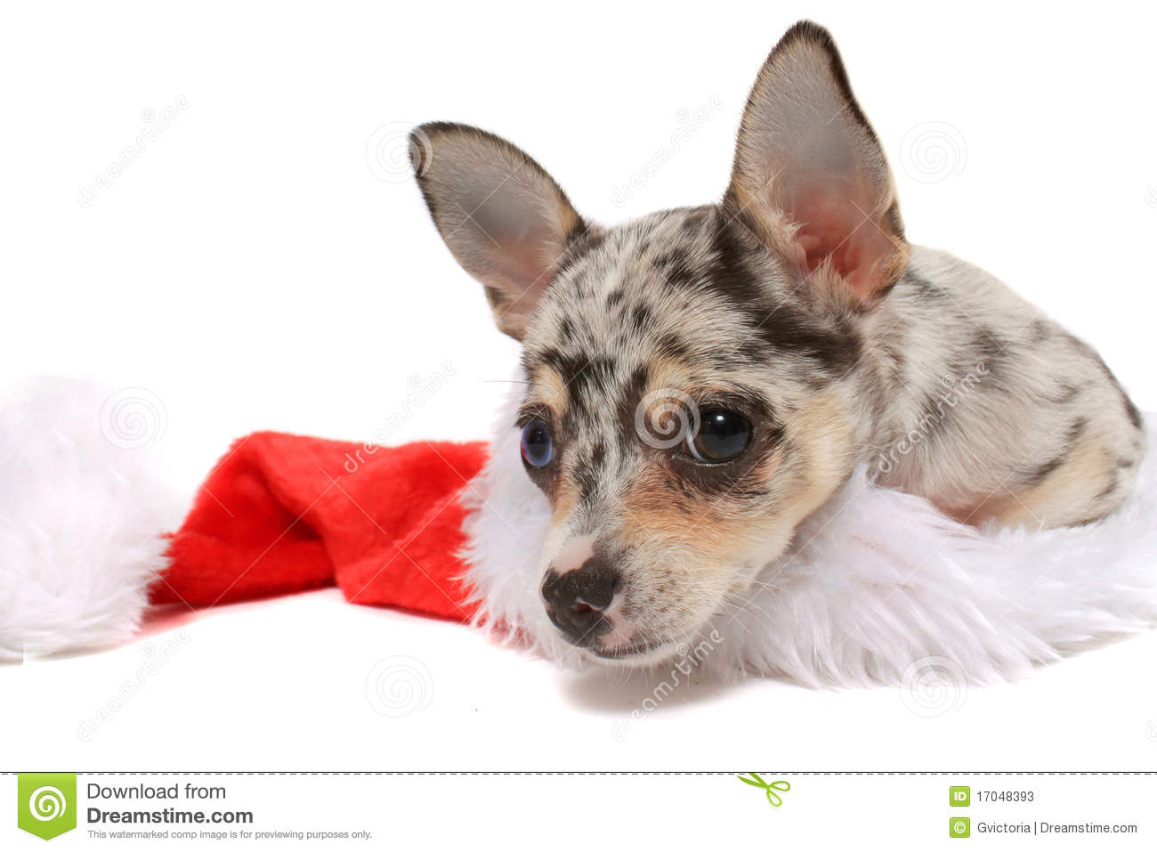 spotted chihuahua chihuahua christmas stock photos image 17048393 2169