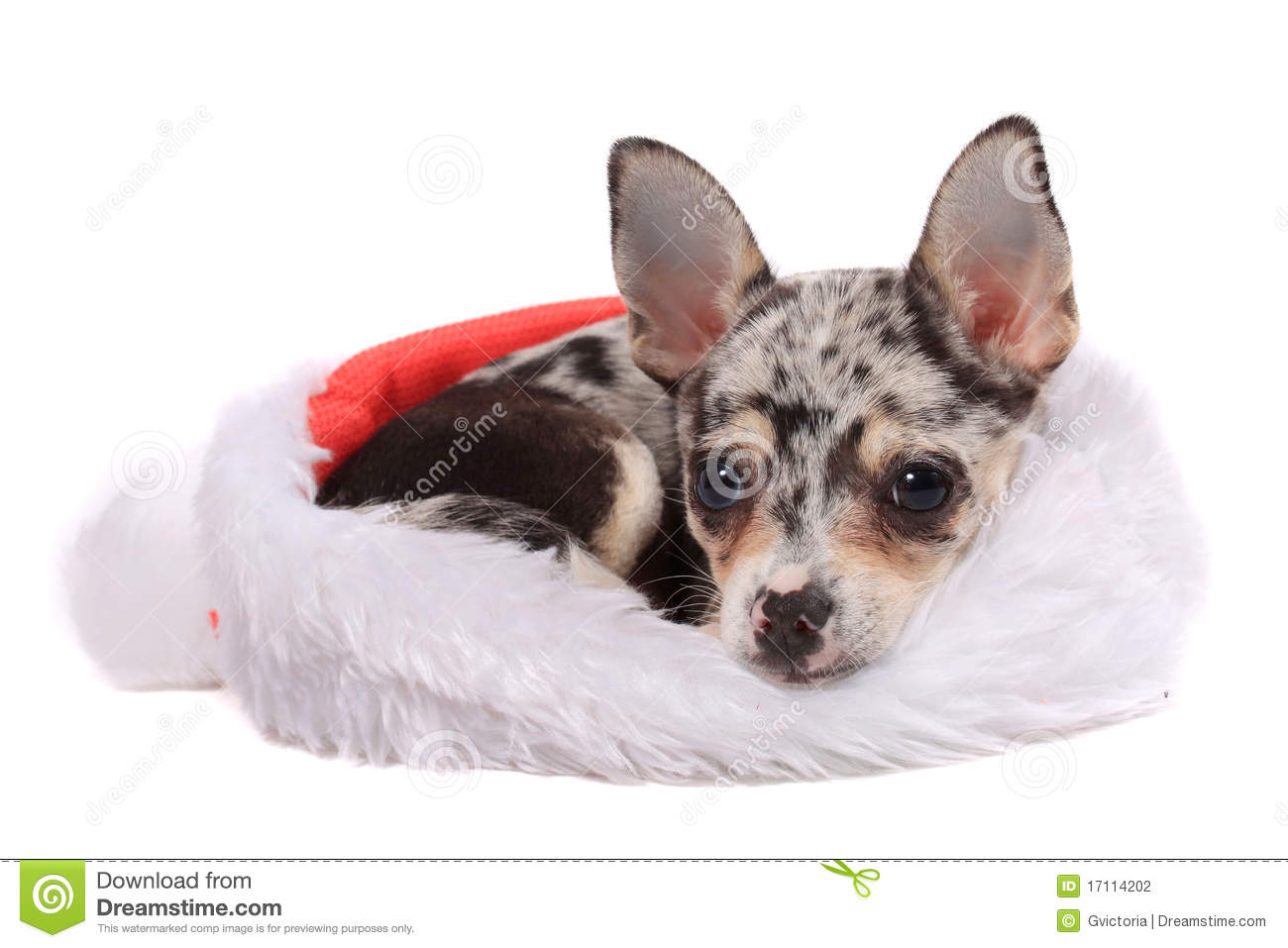 spotted chihuahua chihuahua christmas stock photography image 17114202 2447