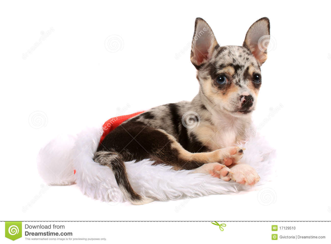 spotted chihuahua chihuahua christmas stock photo image 17129510 936