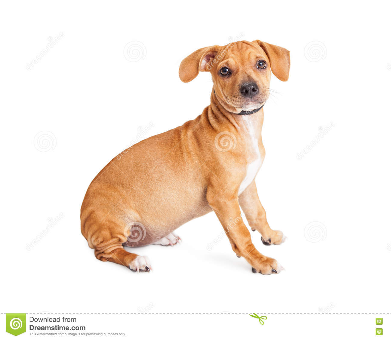 Pics photos dachshund chihuahua dog mix dogs pictures photos pics - Chihuahua Dachshund Dog Sitting To Side