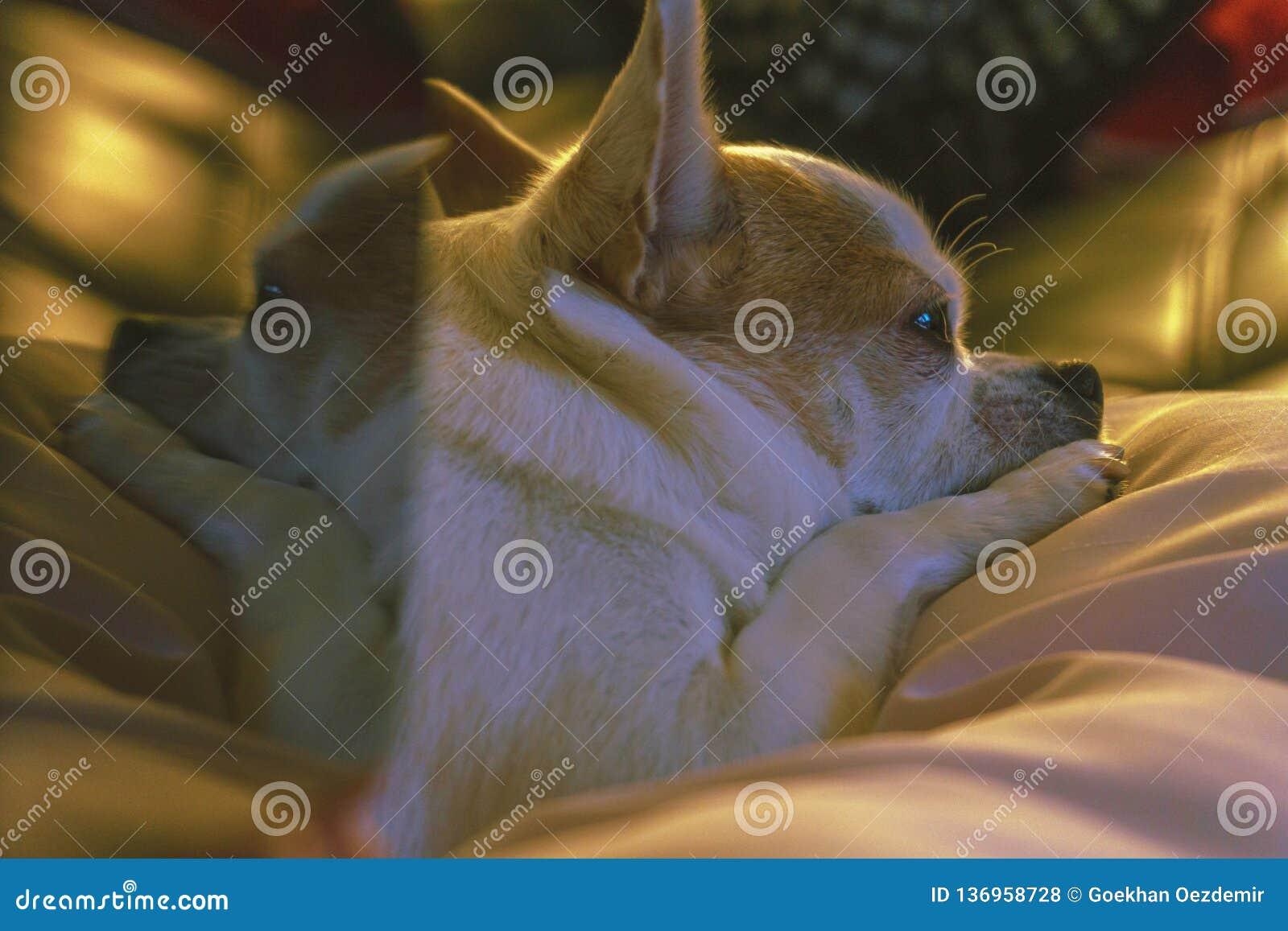 Chihuahua de reclinación linda con la reflexión