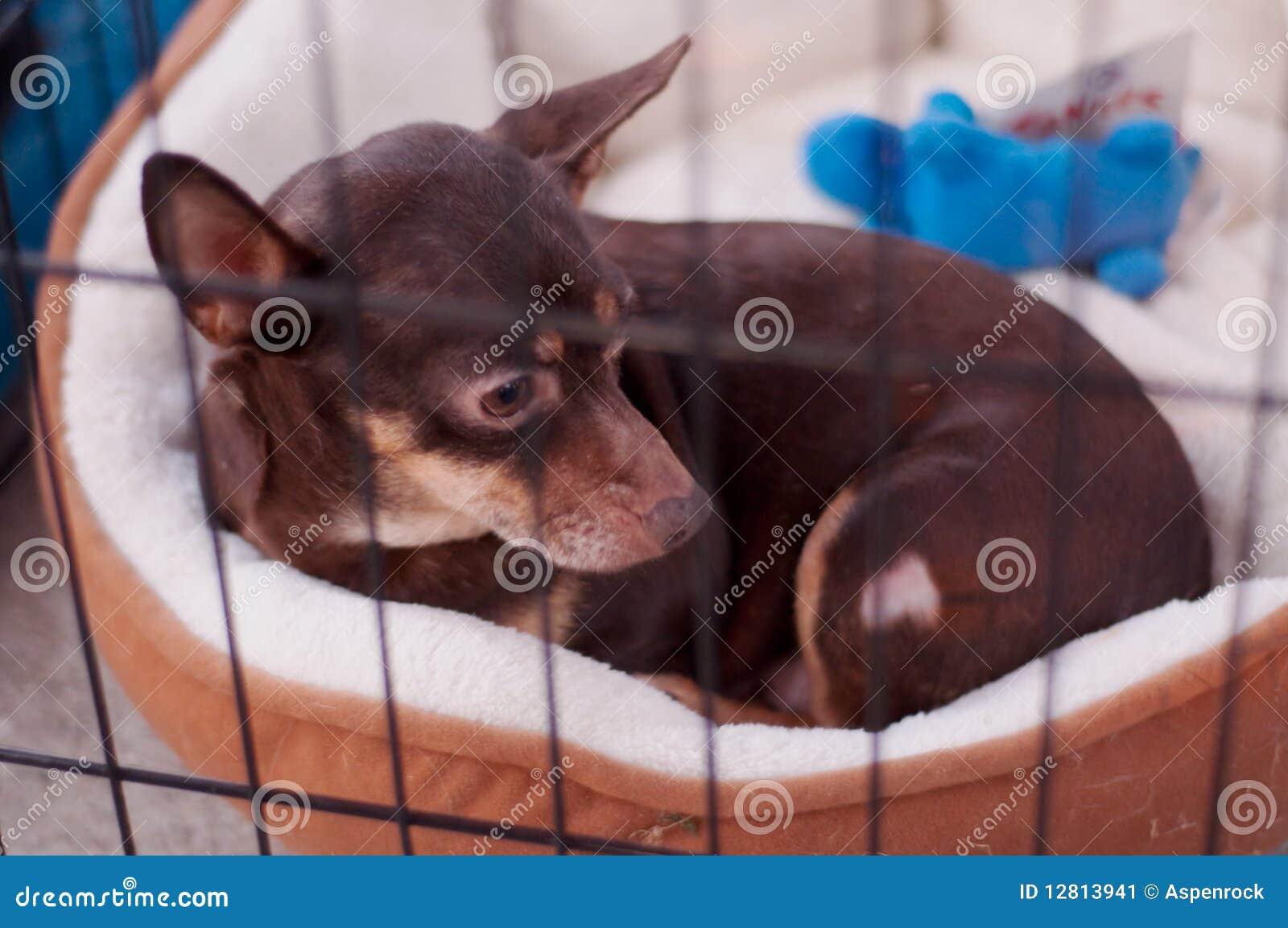 Chihuahua desabrigada