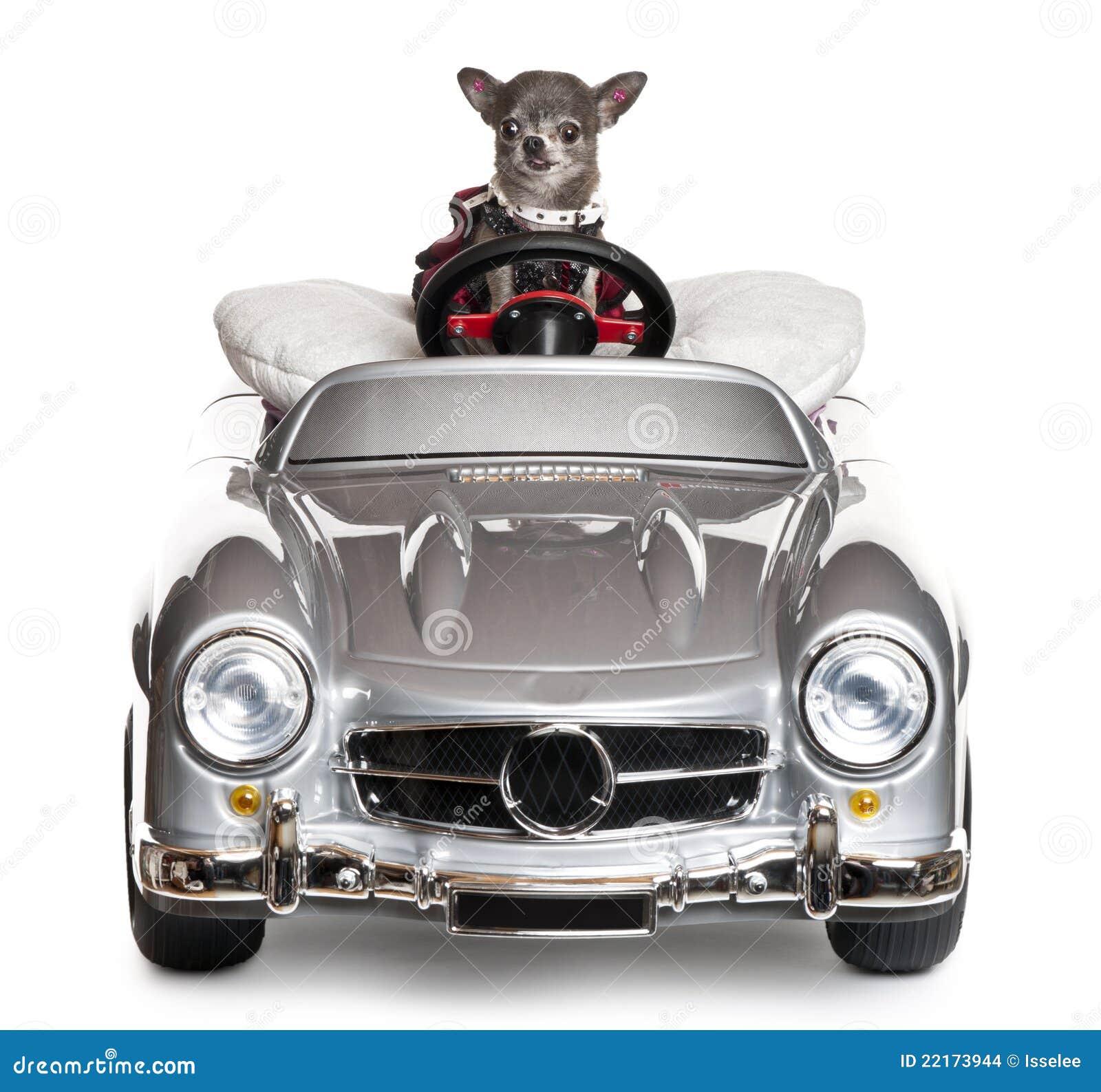 Chihuahua, die ein Kabriolett vor antreiben