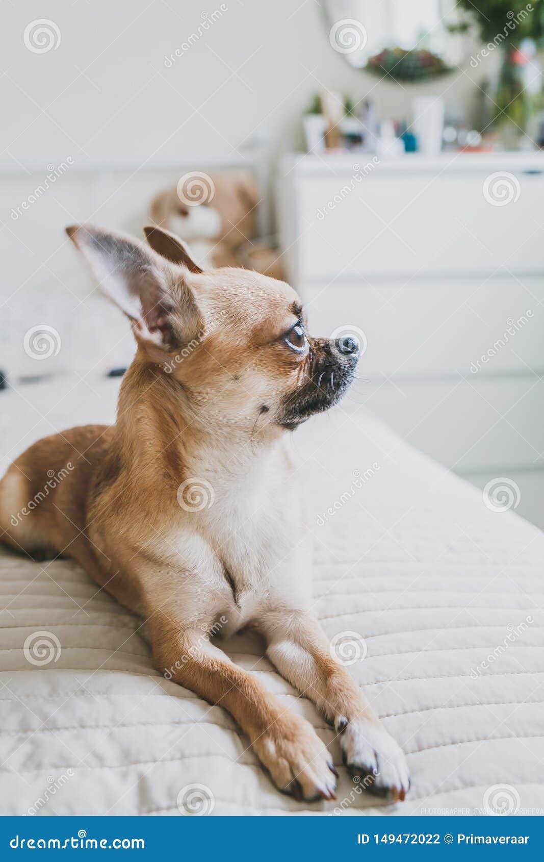 Chihuahua die op het bed liggen