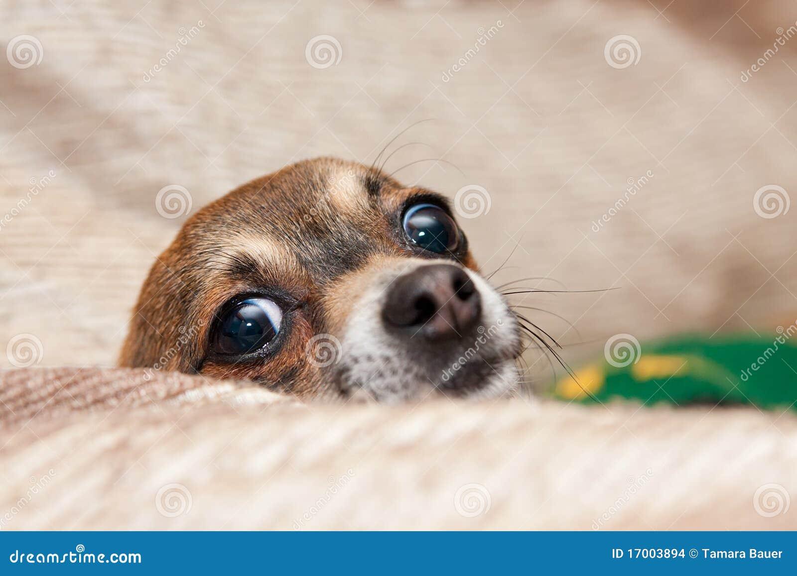 Chihuahua divertente che pigola sopra l ammortizzatore